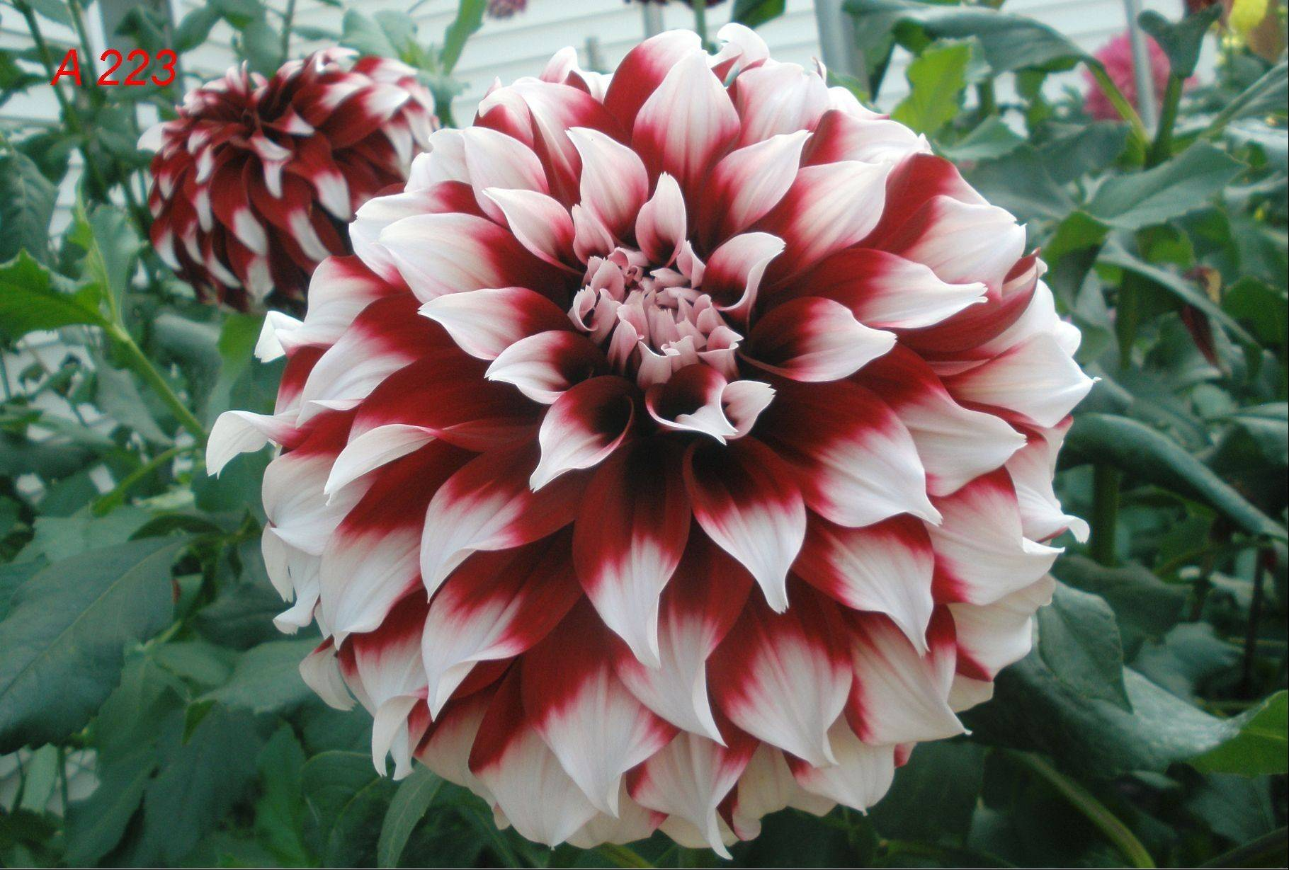 Steve Meggos' dahlias can be bicolored.