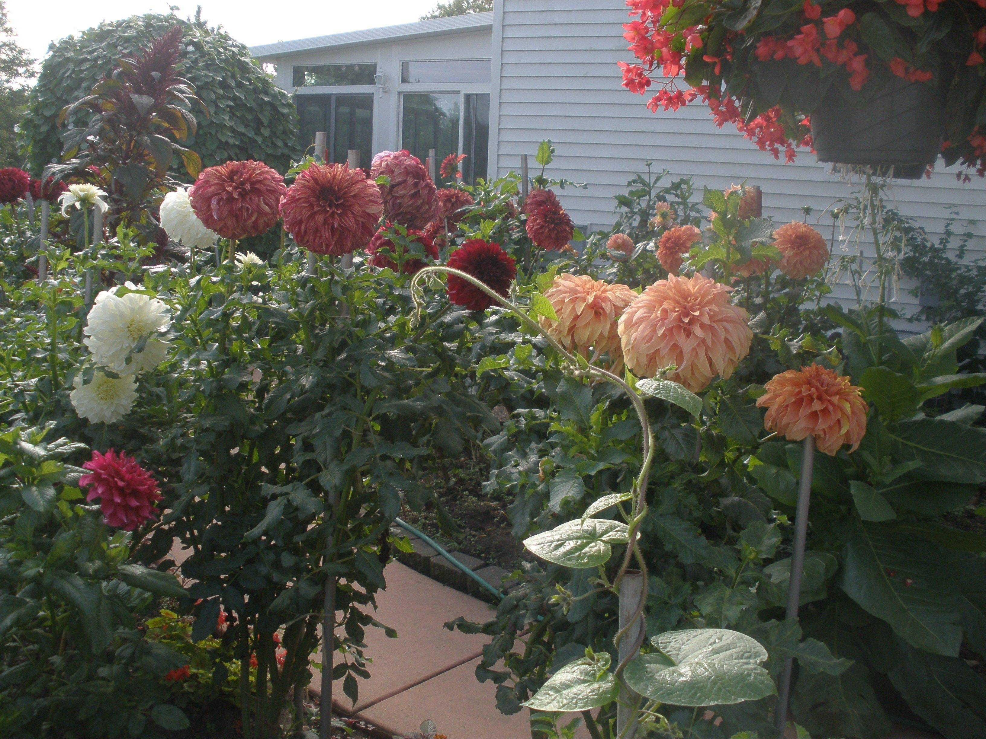 Here's a view of Steve Meggos' Carpentersville yard with his dahlias in bloom.