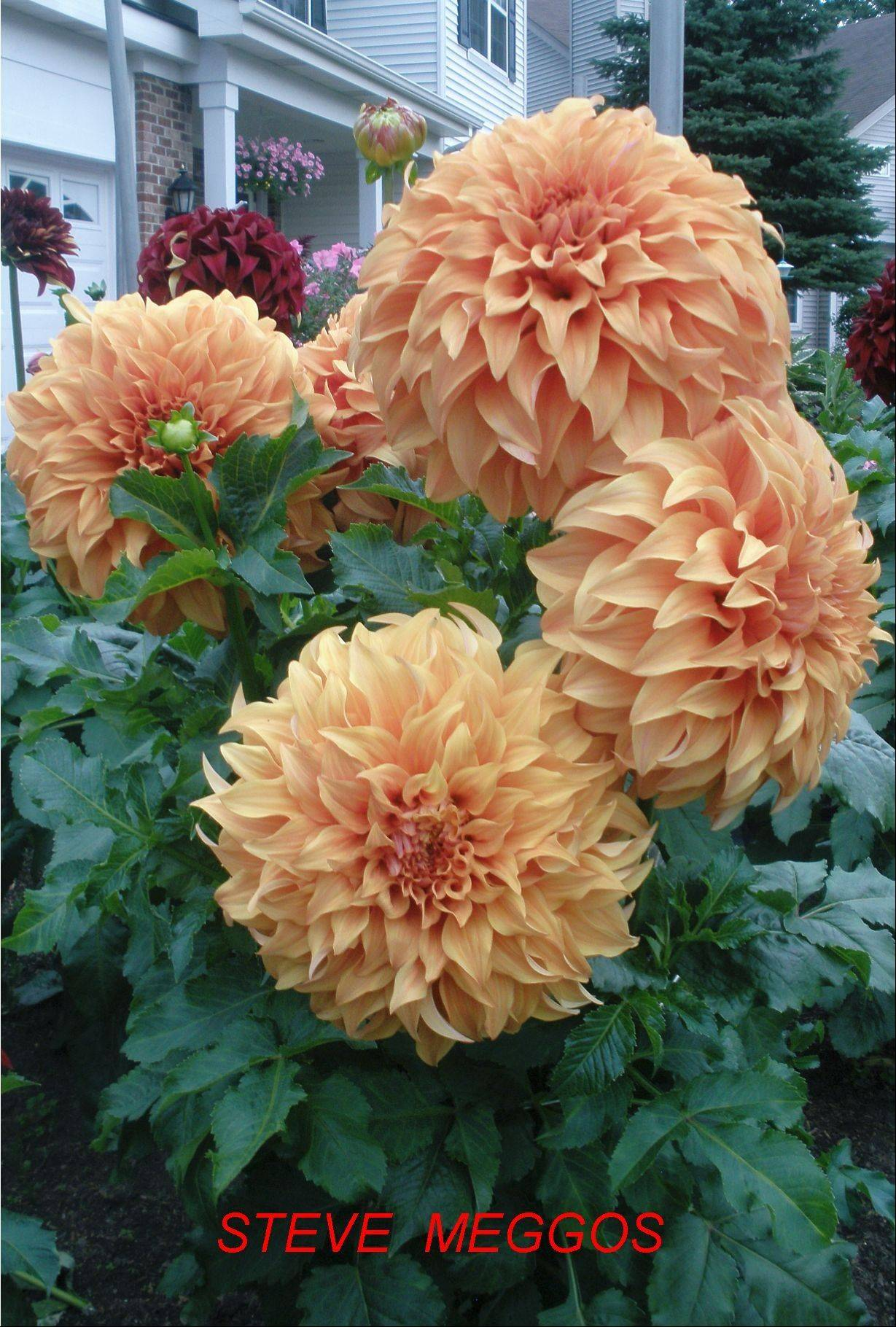 Steve Meggos is finally naming a dahlia after himself.