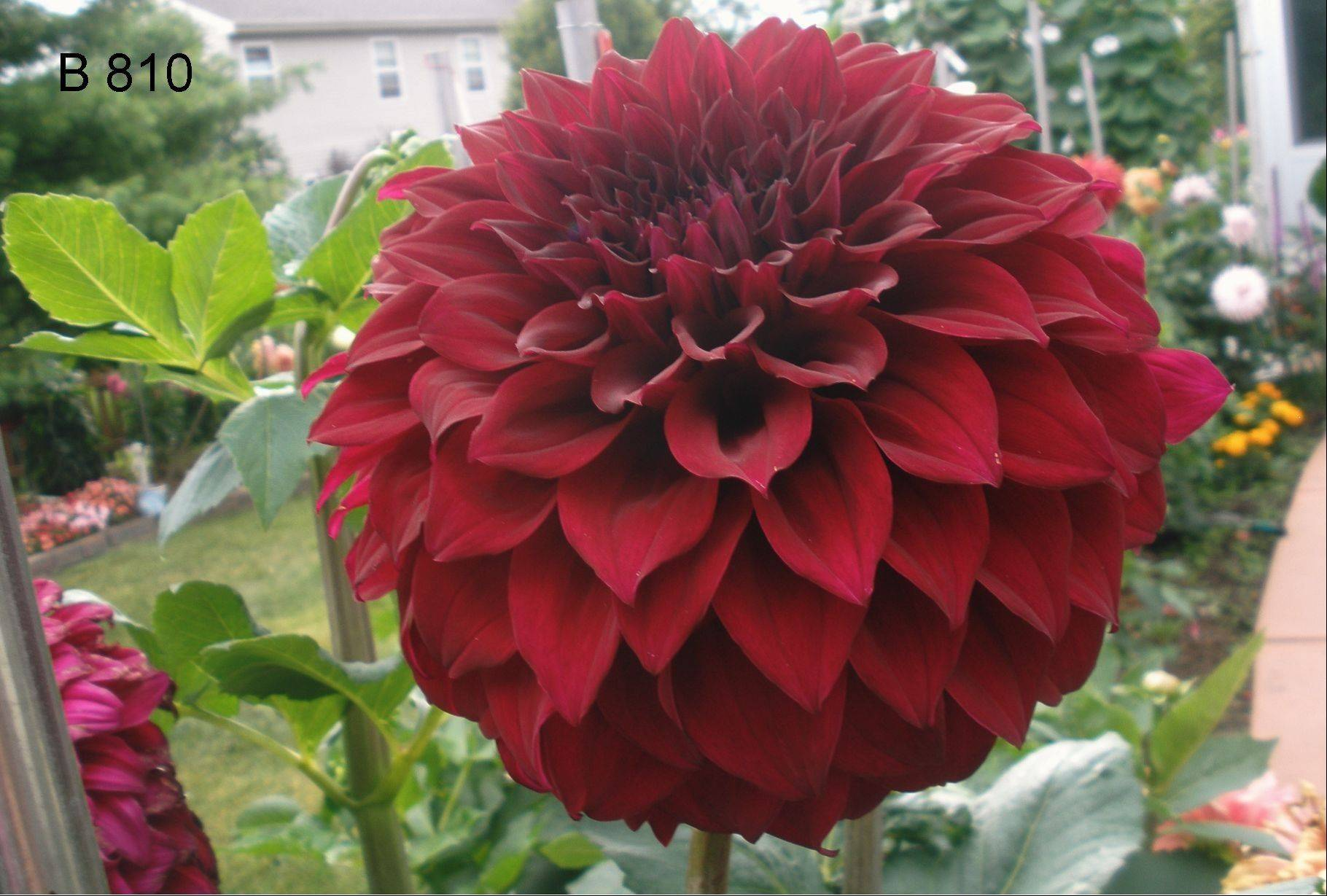Spartacus is often the starting point for Steve Meggos' dahlias.