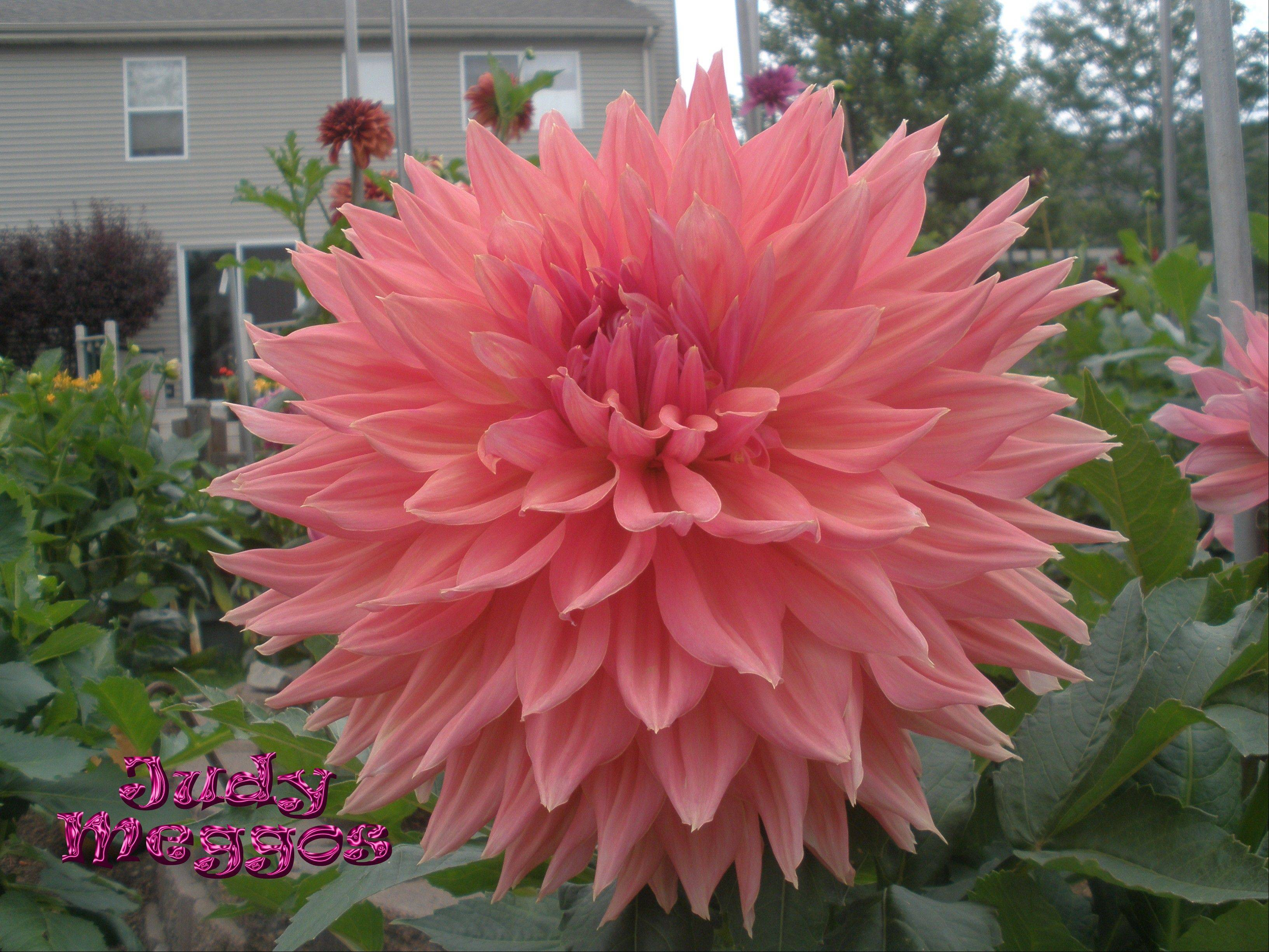 This popular pink dahlia is named after Judy Meggos, Steve's wife.