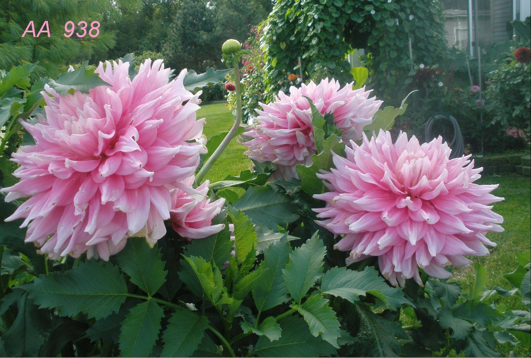 Steve Meggos likes dahlias that grow very large blooms.