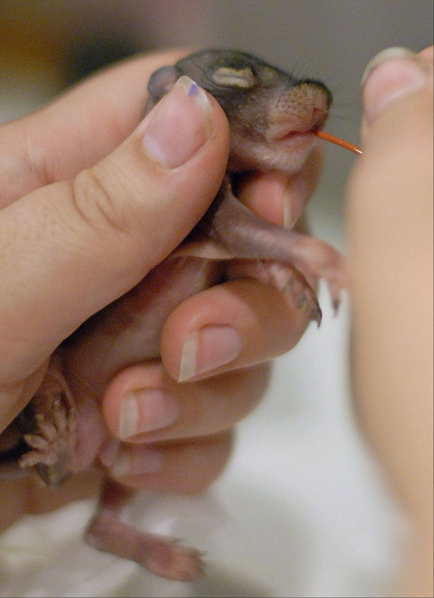 A two-week-old baby squirrel receives a special squirrel formula via a tiny tube and syringe. Currently there are about 30 infant squirrels at the center, many who came in after violent storms blew through and knocked them out of their tree nests.