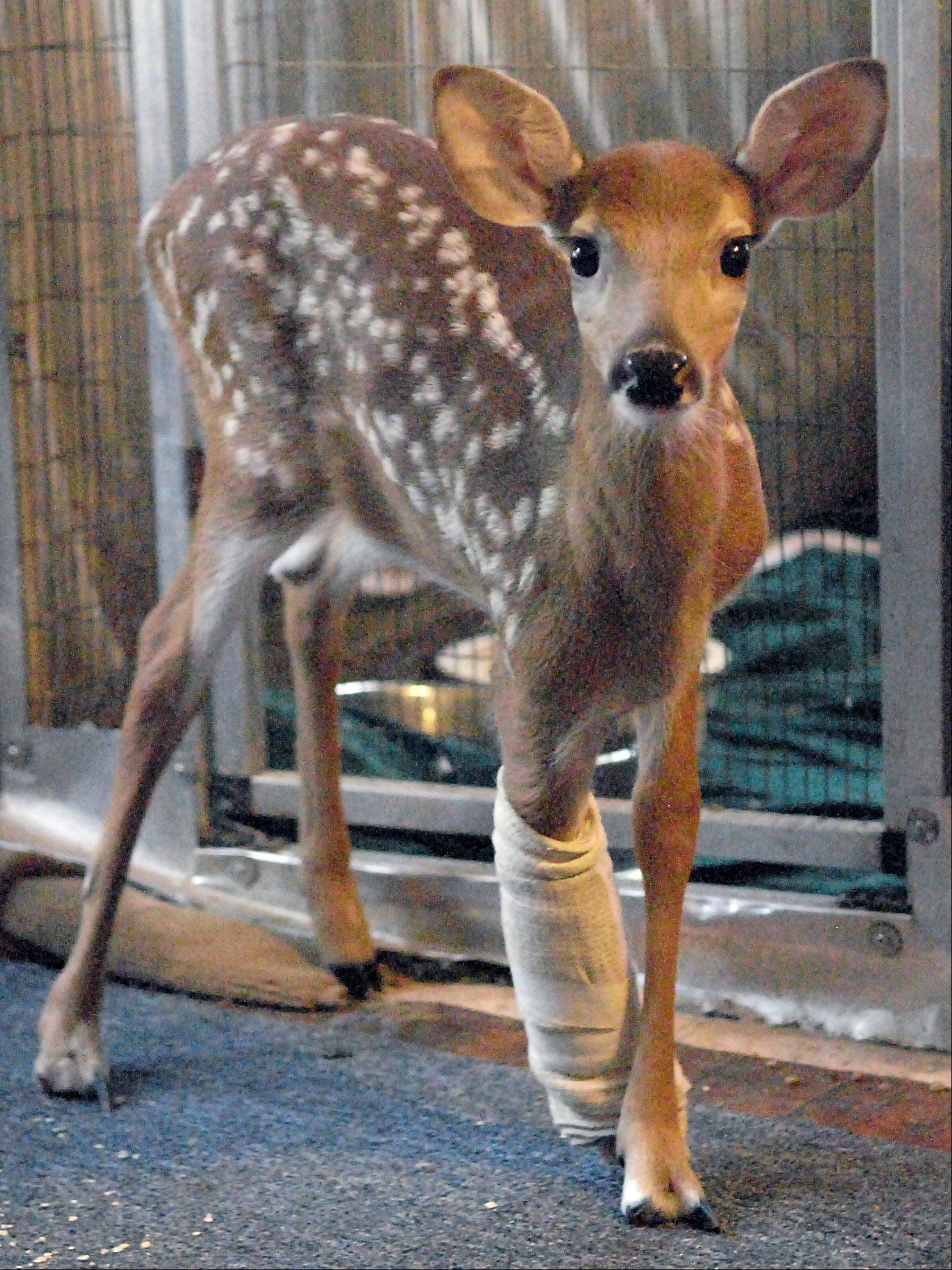 Franklin, a fawn about two months old, lost its leg from an accidental lawn mowing incident. It has been recovering from an initial surgery, soon to get another to fight a speeding infection, with the hopes of getting a prothesis made. A donator has already been in contact with the organization.