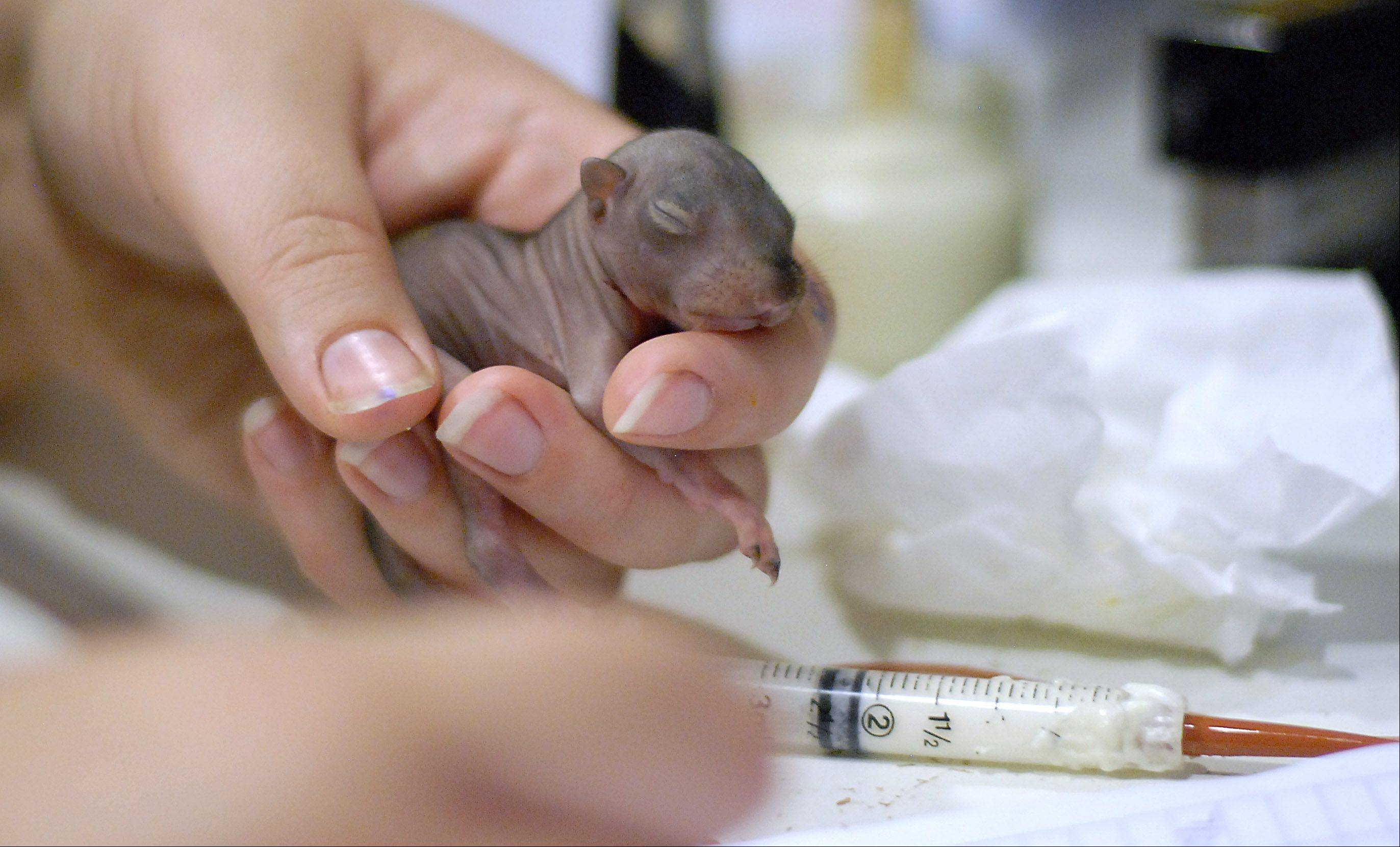 As Fox Valley Wildlife Center staff member Laura Kirk updates a feeding log, a two-week-old baby squirrel with a full belly relaxes in her hand.