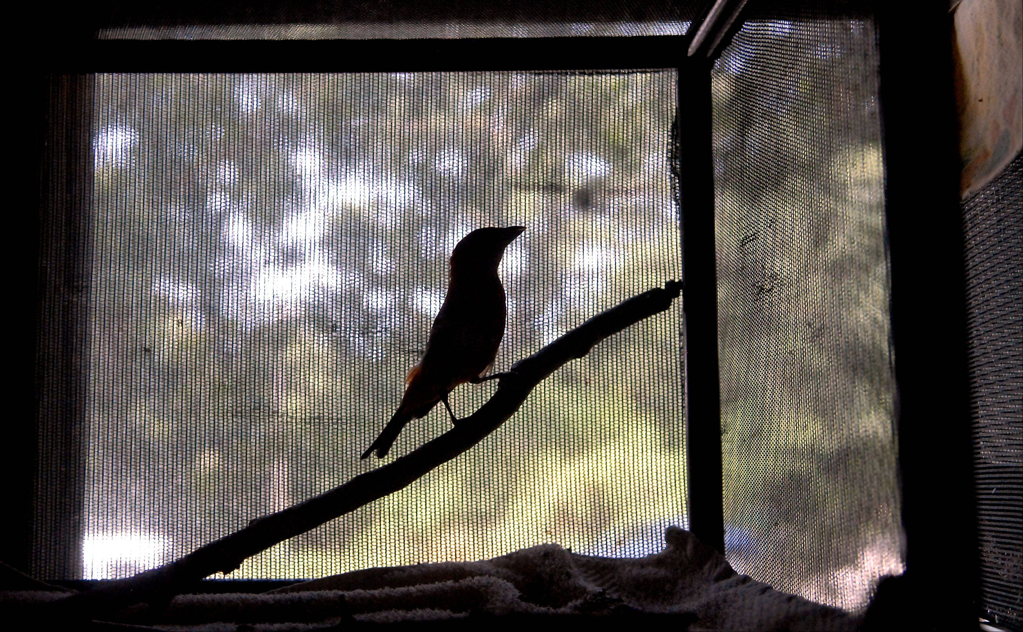 A scarlet tanager hops around its cage at the Fox Valley Wildlife Center located inside the Elburn Forest Preserve.