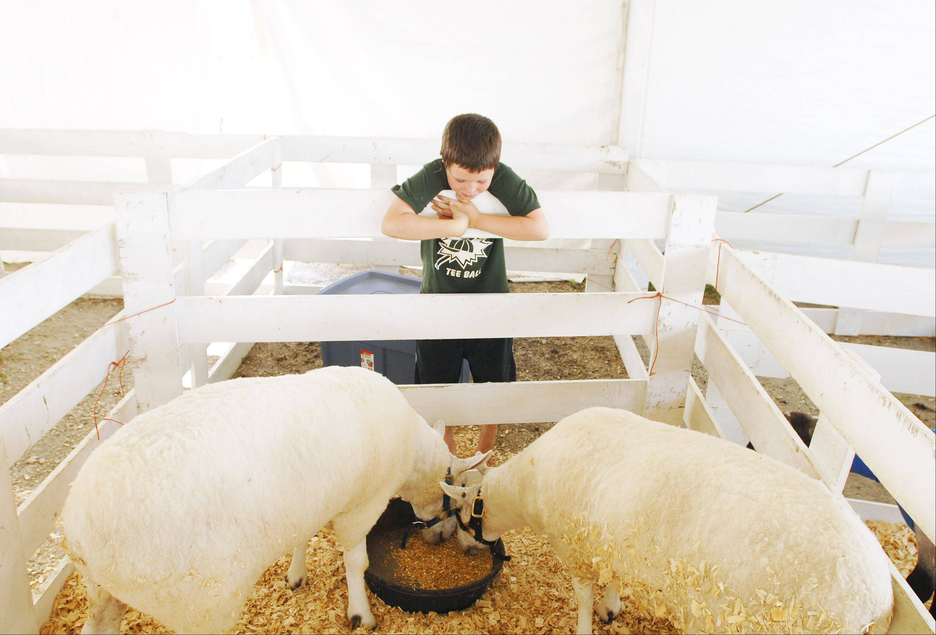 Oli Barraclough, 9, of Glen Ellyn tends to his sheep in preparation for tomorrows opening of the DuPage County Fair.