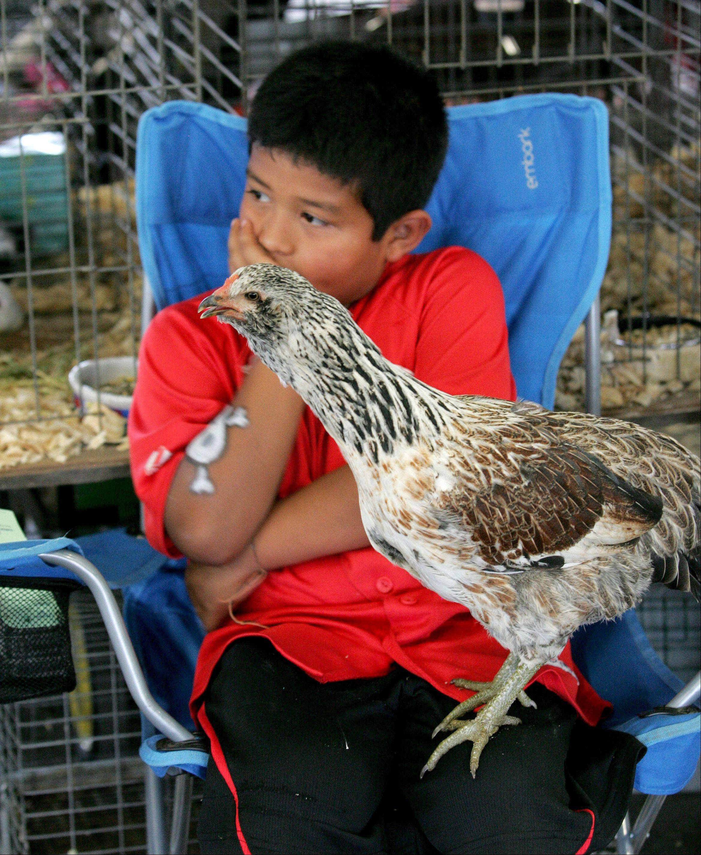 Rony Borowiak, 8 of Warrenville and his pullet named Temig, wait patiently to be judged during the opening day of the DuPage County Fair in Wheaton on Wednesday.