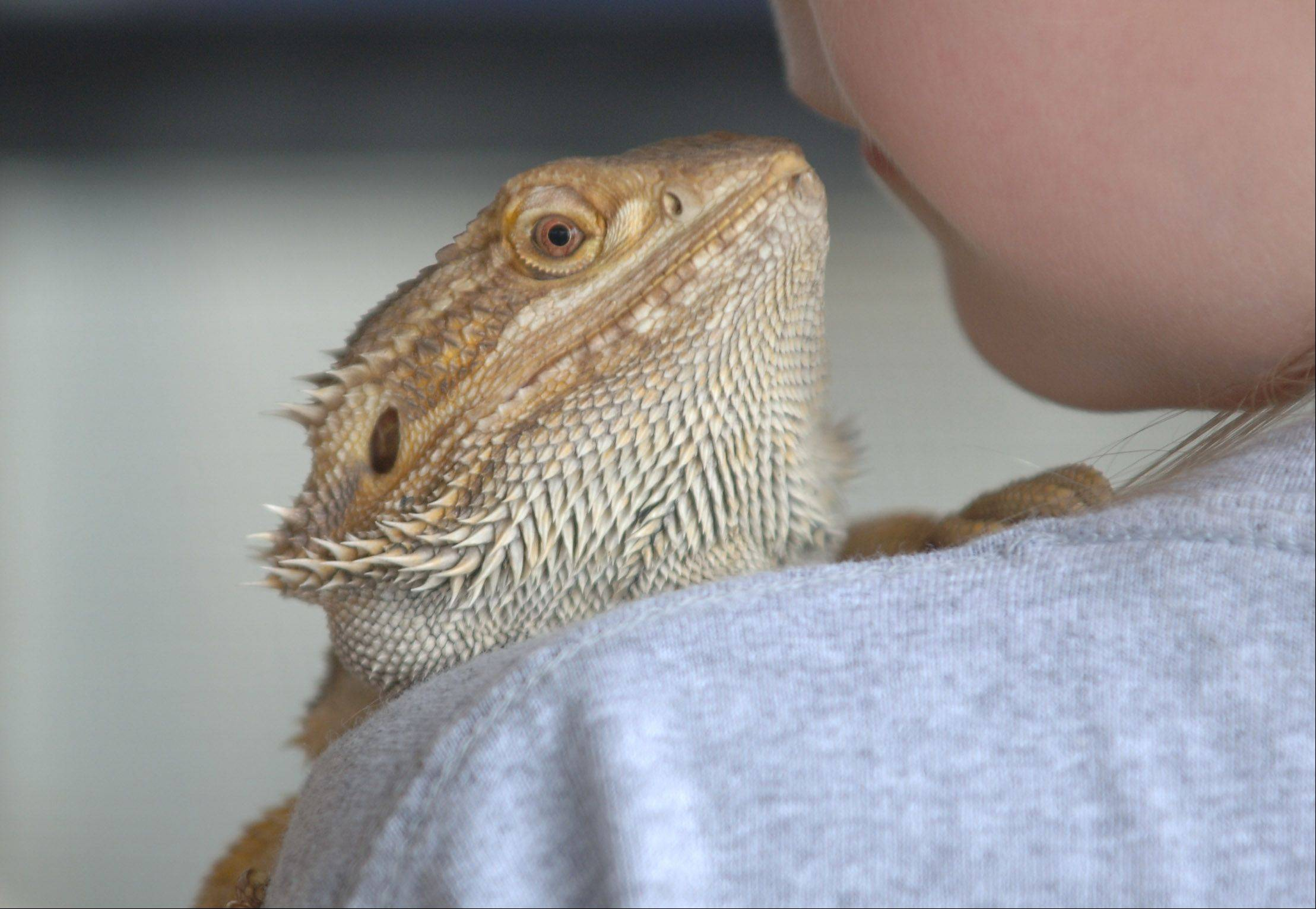 A bearded dragon gets some attention Thursday at the Lake County Fair.