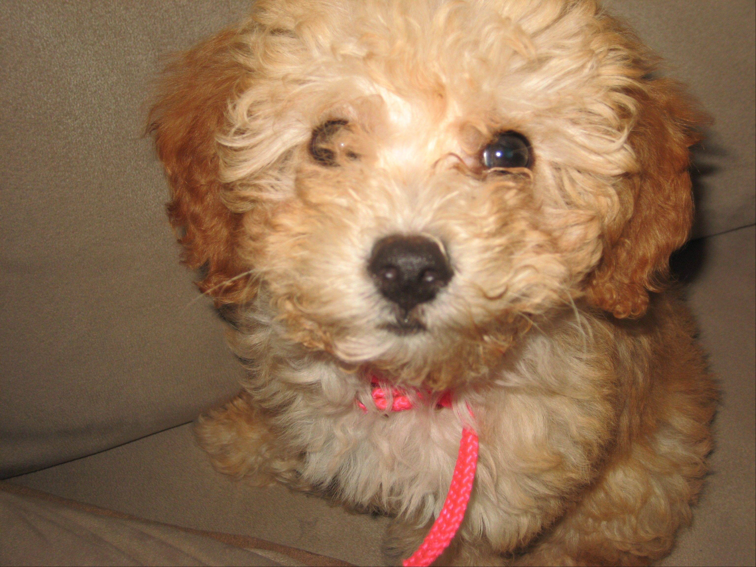 Daisy, a 3-year-old bichon frise-poodle mix, was killed by a pit bull on Sunday in Villa Park.