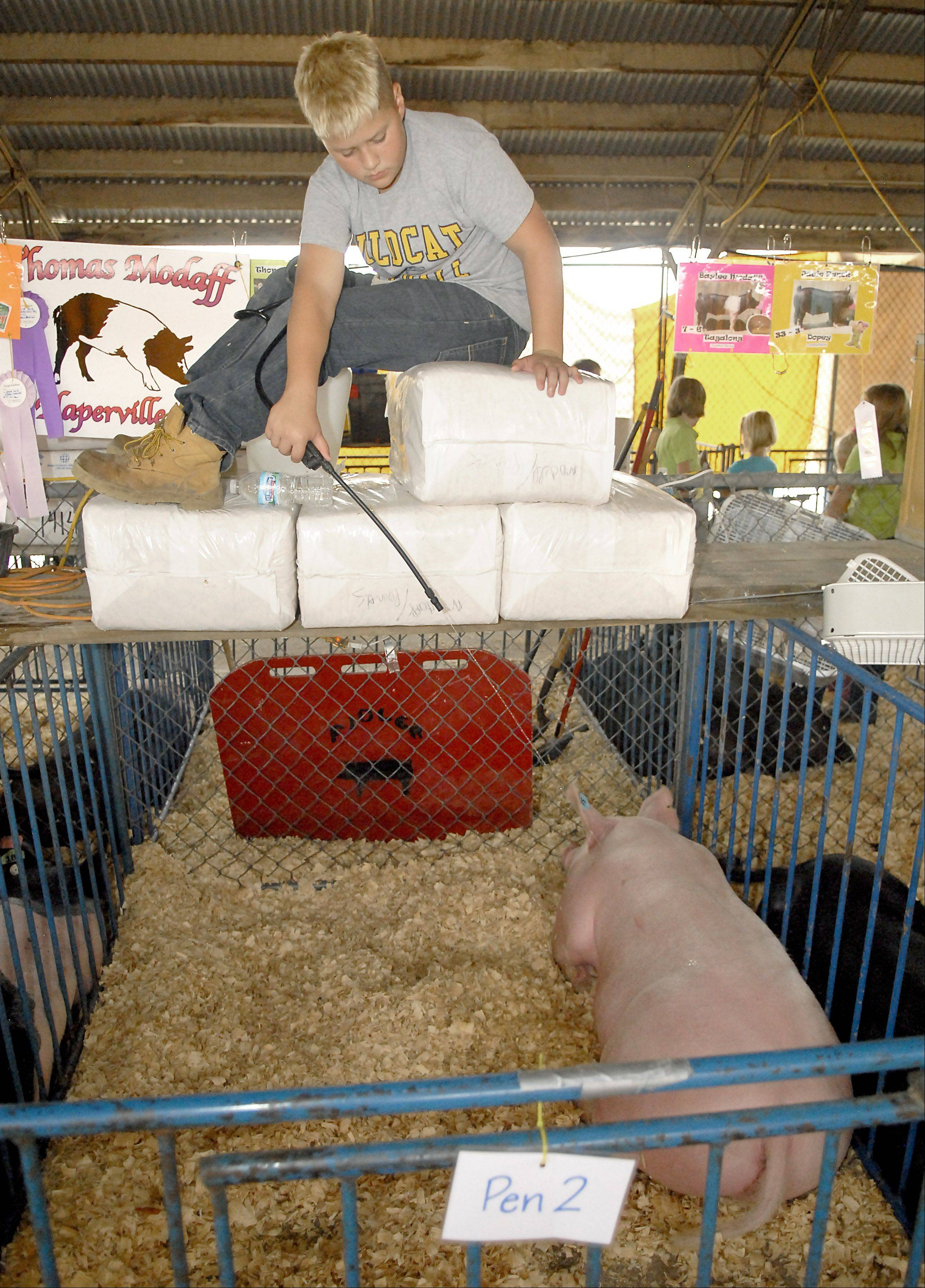 Thomas Modoff, 12, of Naperville sprays water on his pigs to help keep them cool during the second day of the Kane County Fair on July 19. Modoff has been showing pigs for five years.
