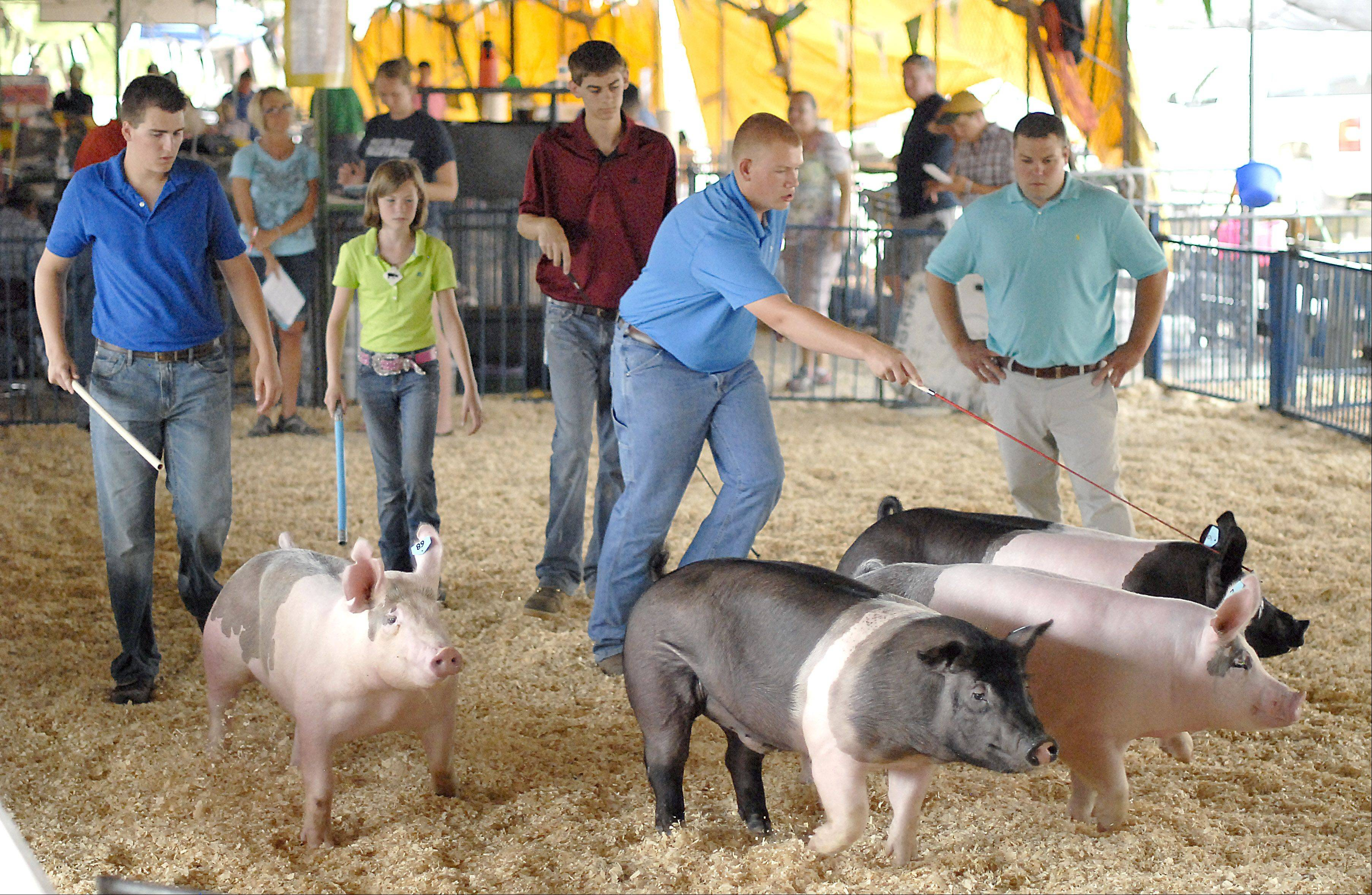 Pigs in the Crossbreed Barrow category in the 255-265 weight class scamper out into the ring for judging during the second day of the Kane County Fair on July 19. Barrow means the pigs have been castrated.