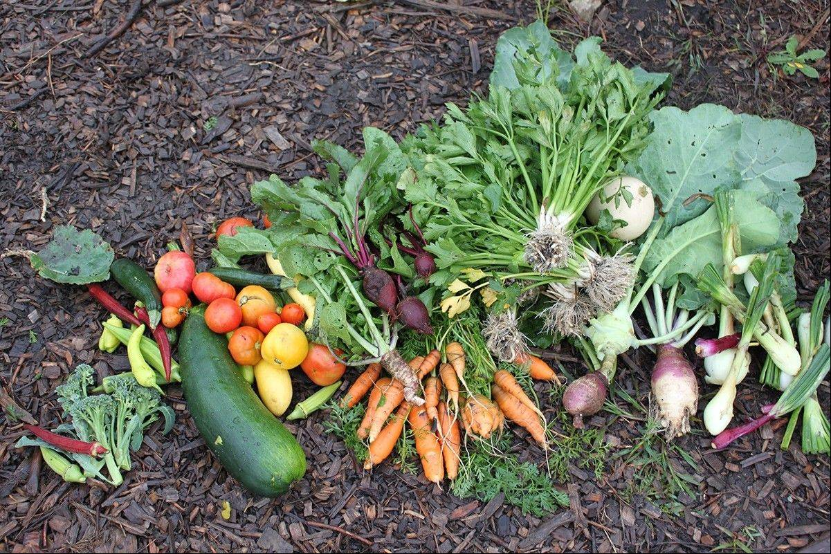 To date, more than 500 pounds of produce have been donated from the Master Gardeners' four plots at the Naperville Park District.