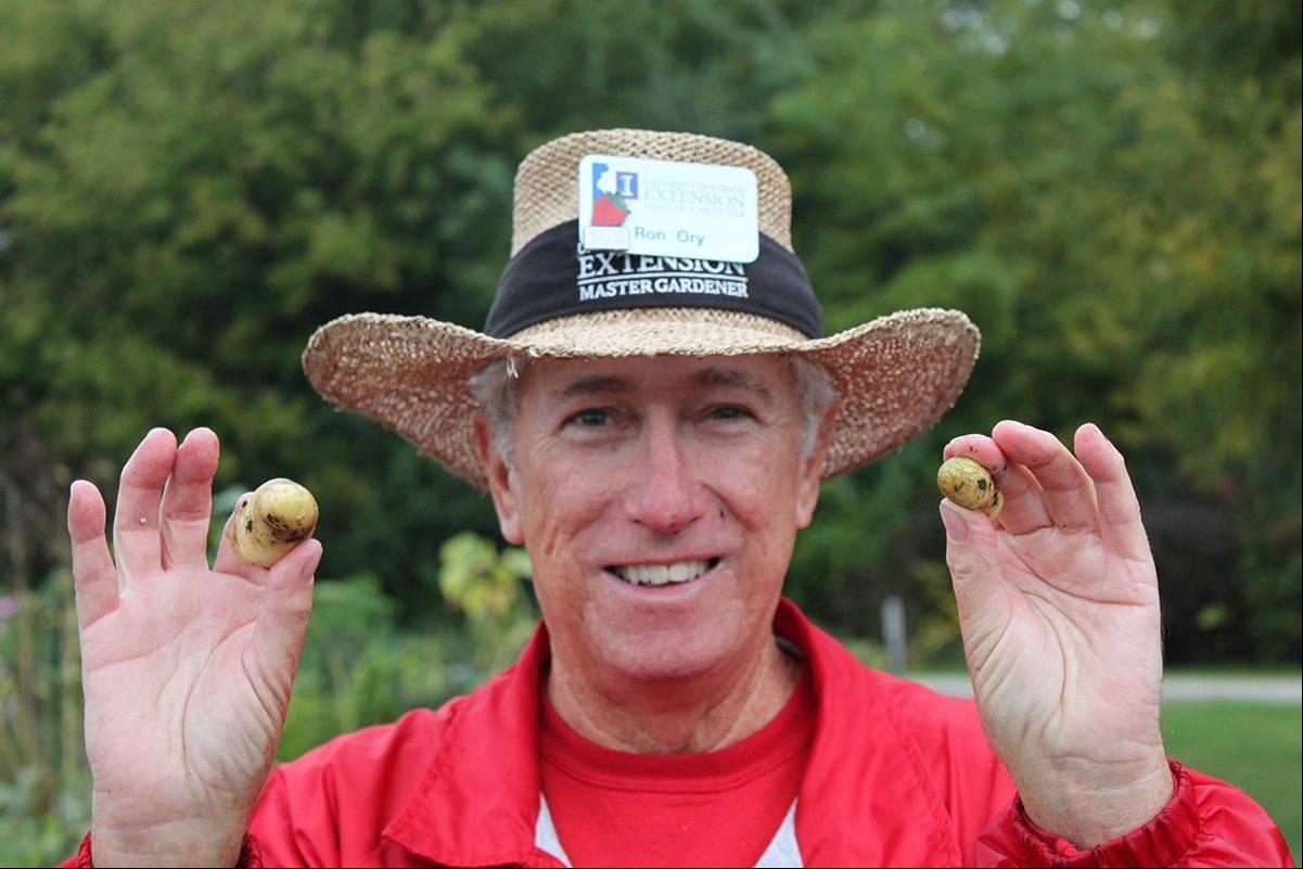 Master Gardener Ron Ory of Naperville shows off the small potatoes produced last year, when it rained too much. This year, a bumper crop of potatoes is expected when they are harvested in September and October.