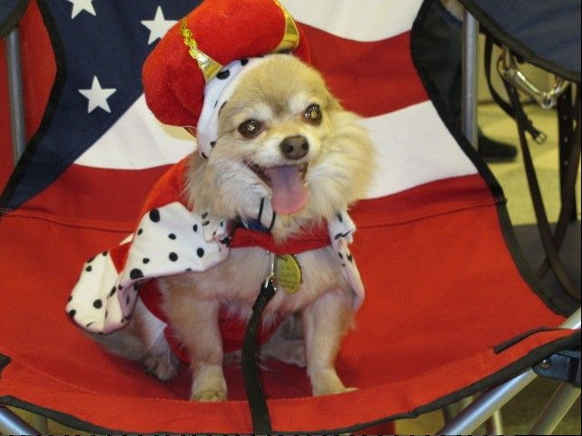 Poco Chico will make an appearance Saturday when Cantigny Park celebrates Dog Days.