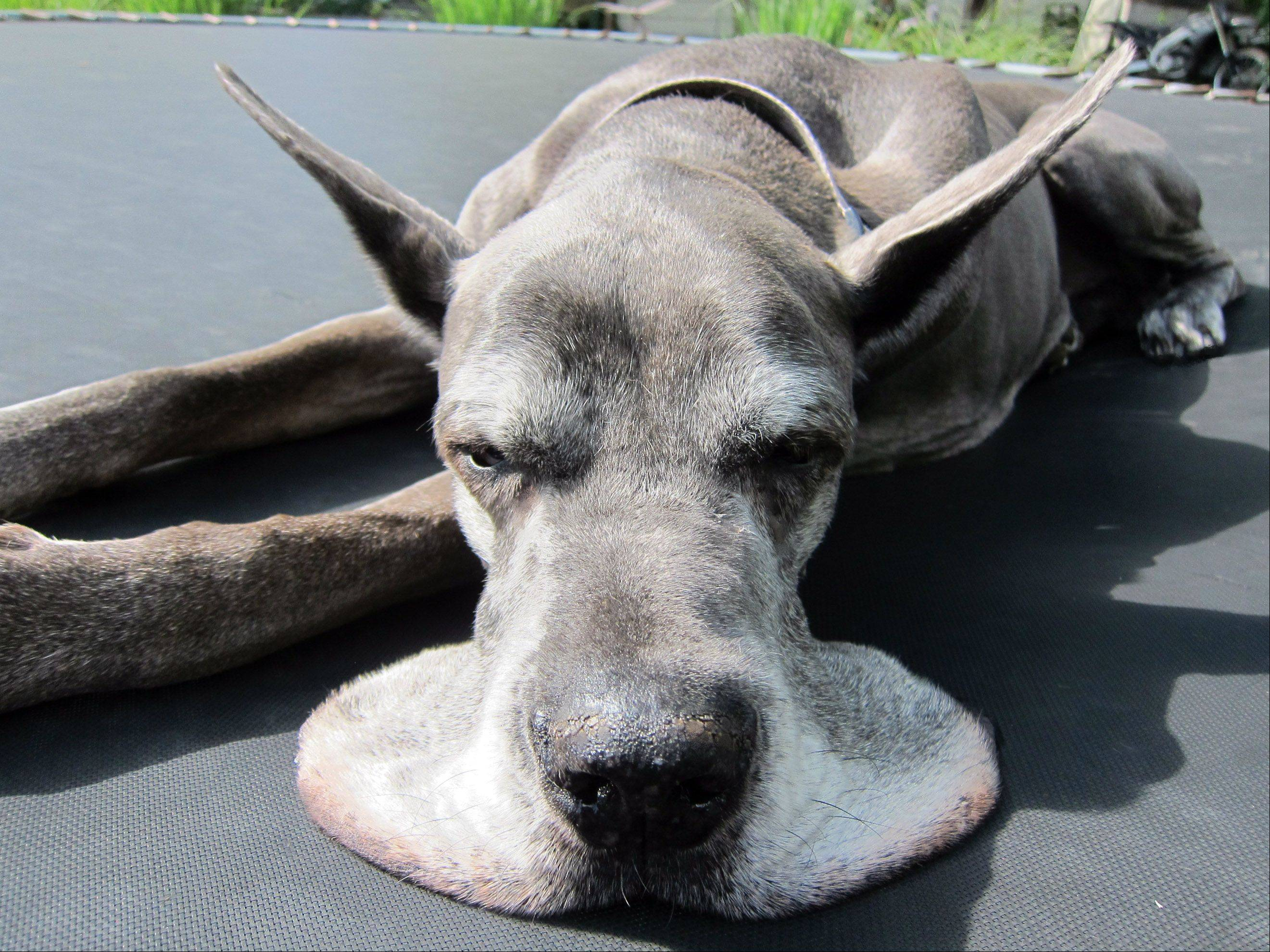 Taken this week in the 100 degree heat, our Great Dane, Contessa, suns herself on the hot, black trampoline in the backyard. However, her underbelly and lips enjoy the draft from below! This is how she spends her mornings when we let her out.