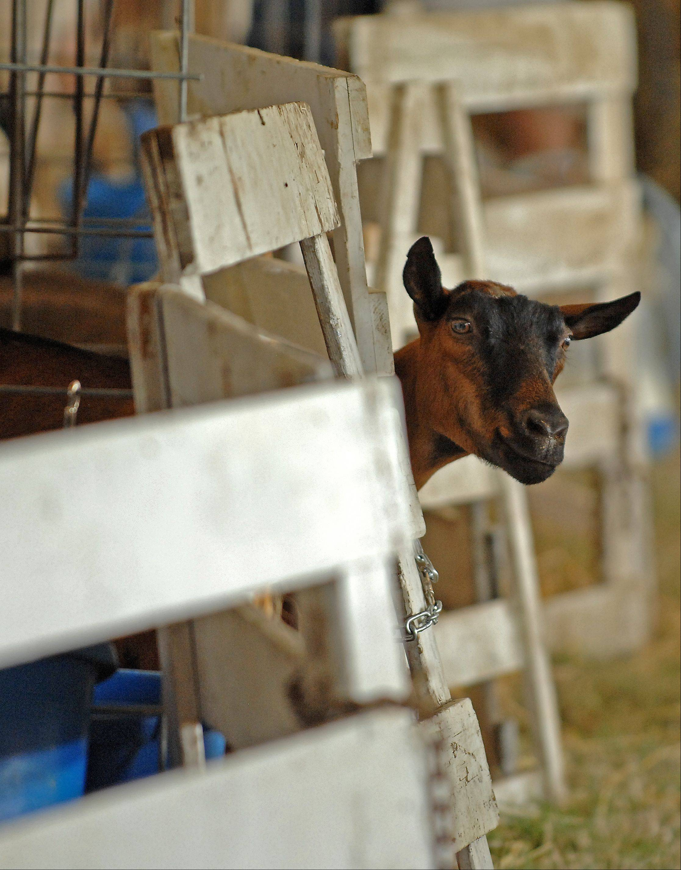A goat pokes his head out on day two of the McHenry County Fair in Woodstock.