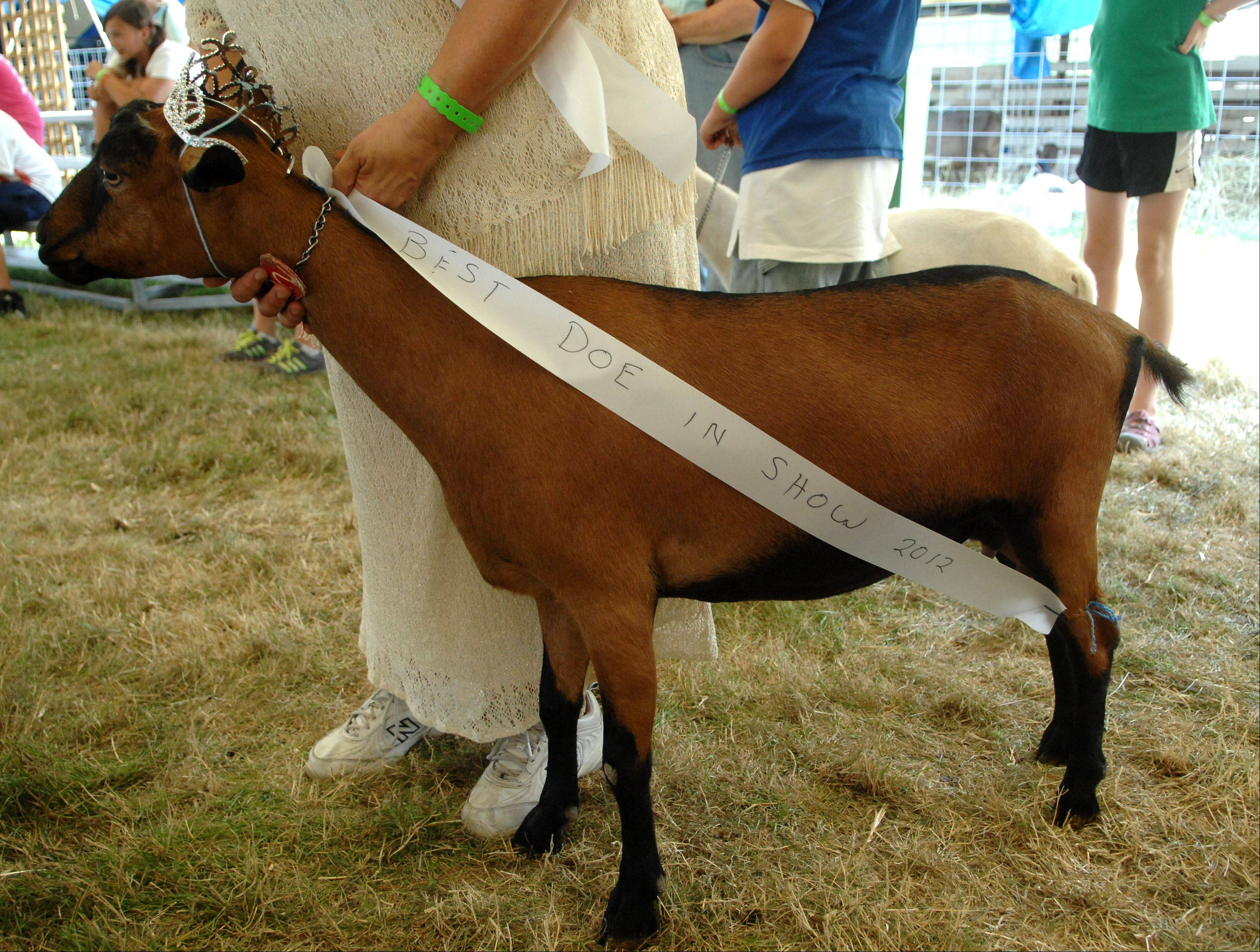 "Barb Howe of Wonder Lake and her ""Best Doe in Show 2012"" wait their turn in the goat costume contest during day two of the McHenry County Fair in Woodstock Thursday."