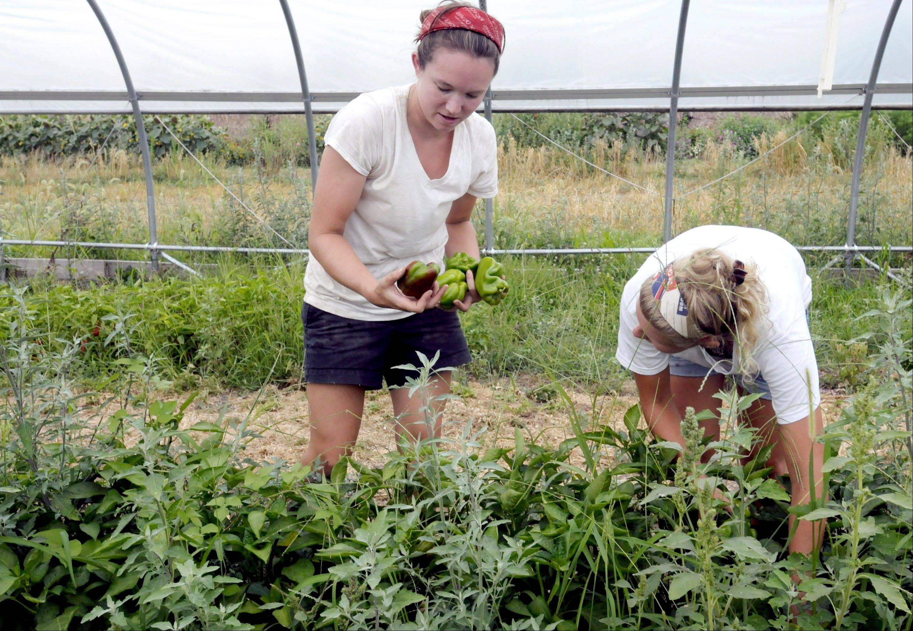 University of Illinois graduate Megan Grant, left, and NYU student and Urbana native Rachel Swindle, pick peppers in the high tunnel at the University of Illinois Sustainable Student Farm in Urbana.