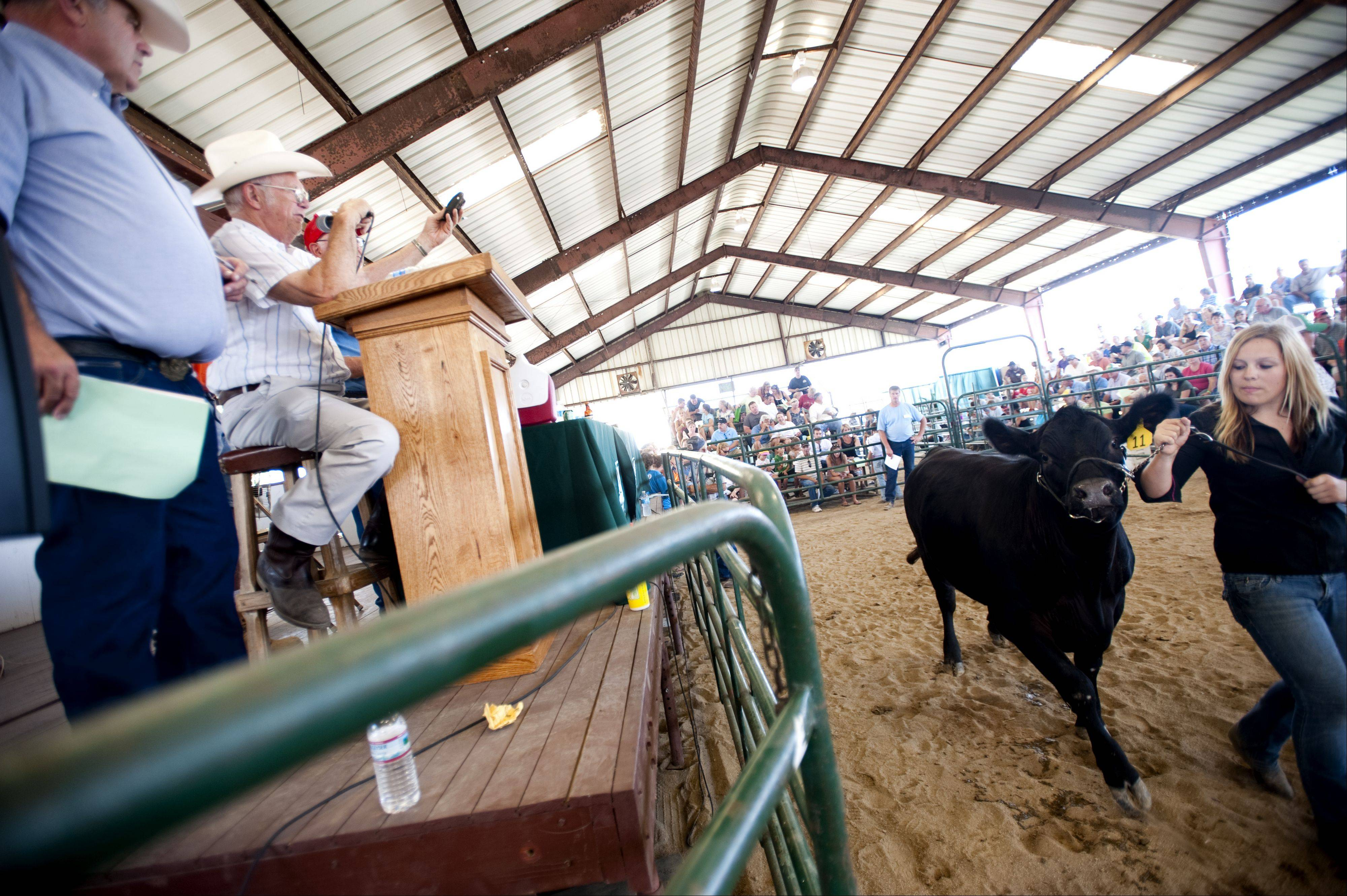 An auctioneer introduces the cattle round of the 4-H Livestock Auction and Sale of Champions at the McHenry County Fair in Woodstock Saturday.
