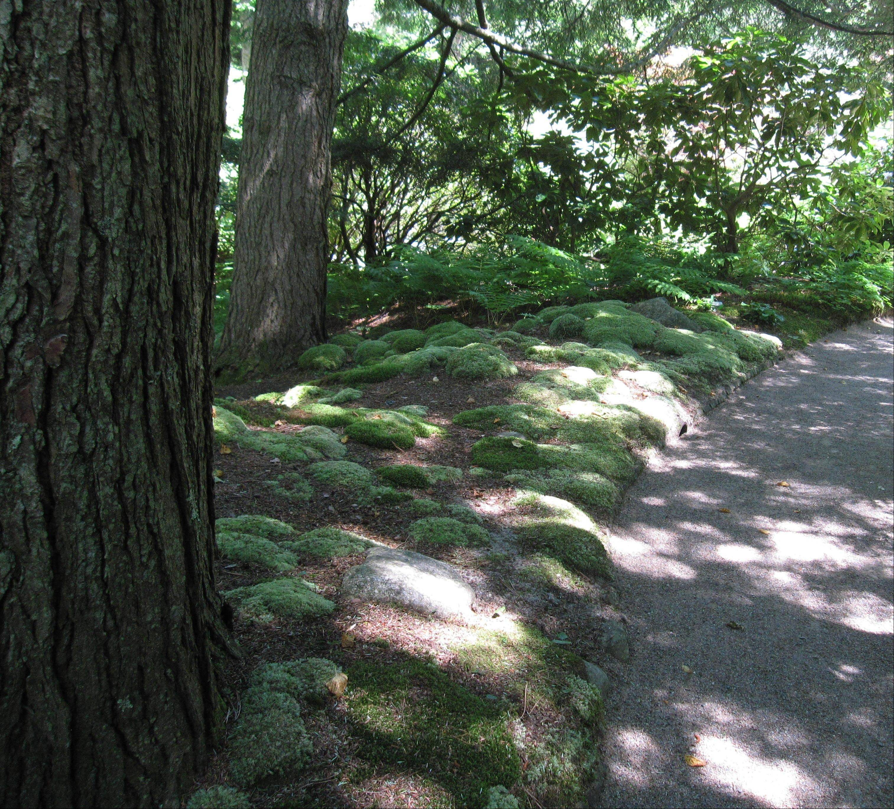 A wooded path is lined with moss and ferns at the Asticou Azalea Garden in Northeast Harbor, Maine.