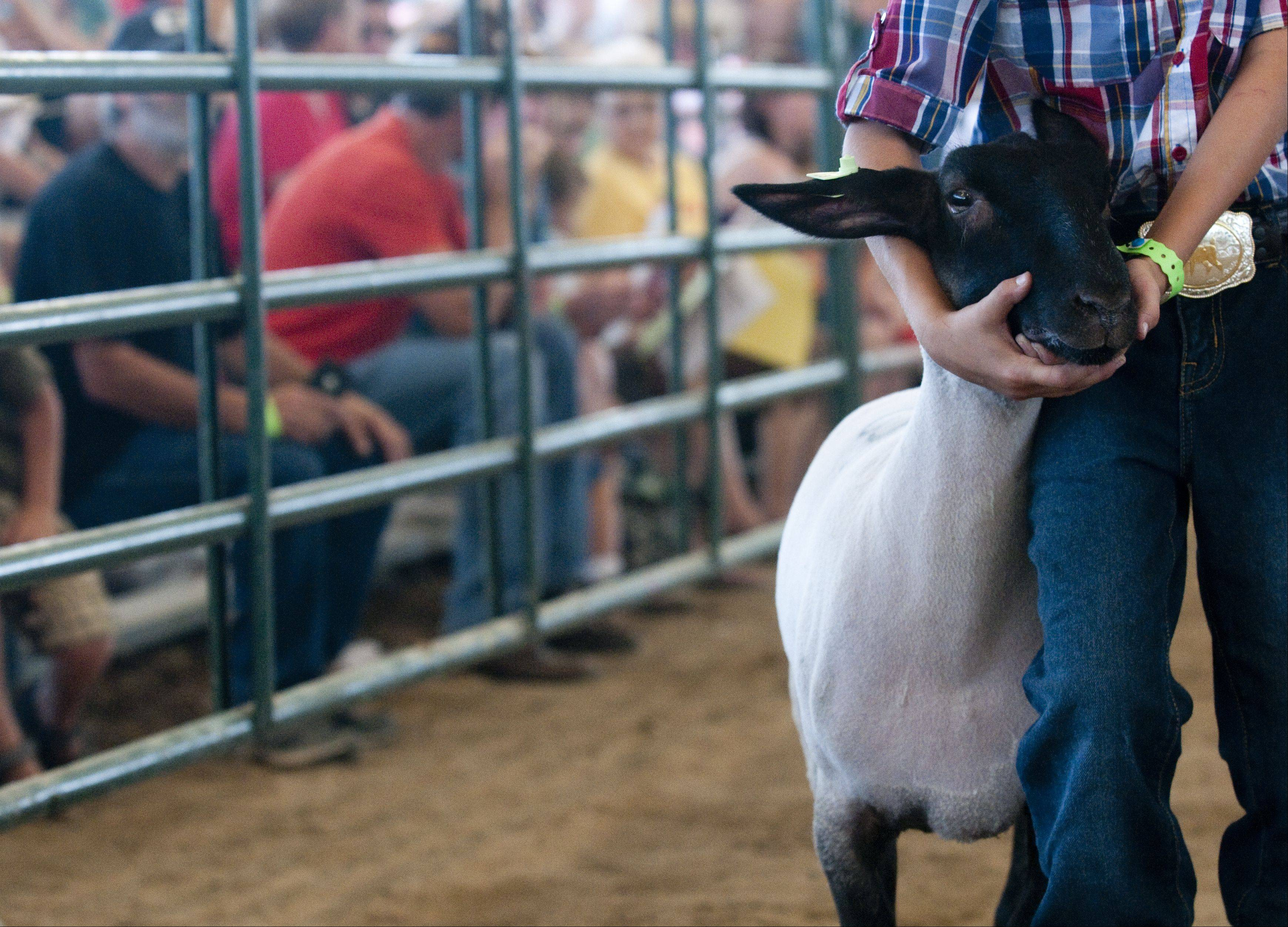 A sheep is shown around the ring at the 4-H Livestock Auction and Sale of Champions at the McHenry County Fair Saturday in Woodstock.