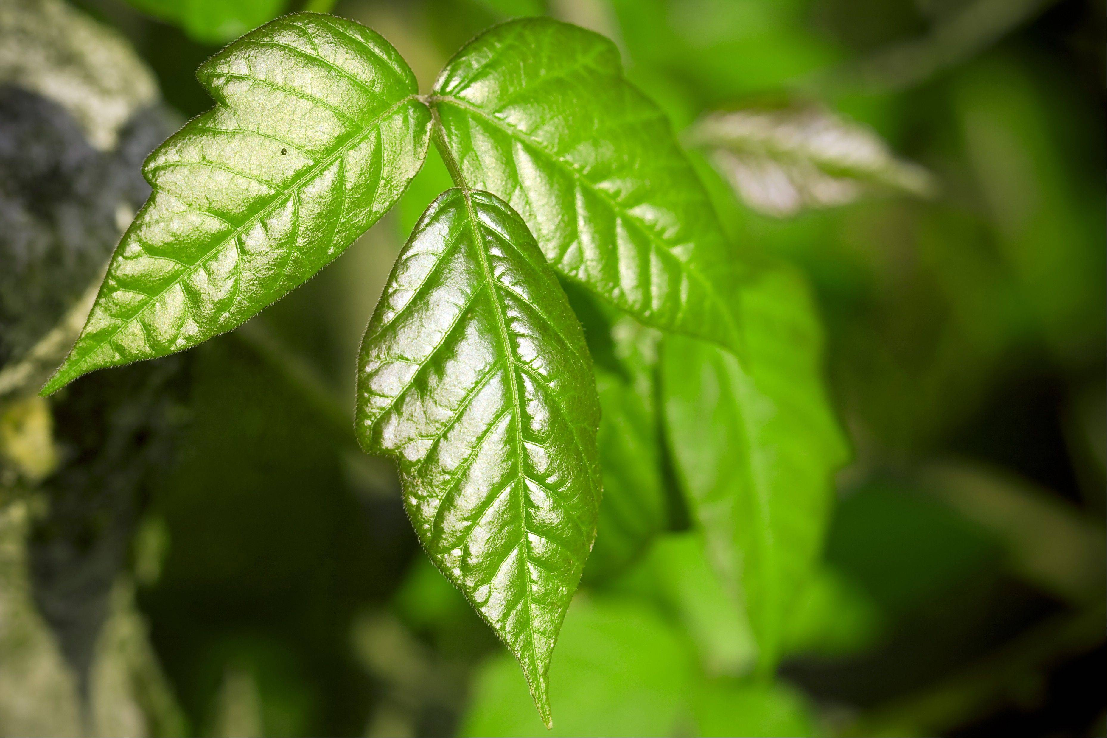 Learn to recognize pesky plants like poison ivy, pictured here, to avoid itchy and burning skin.