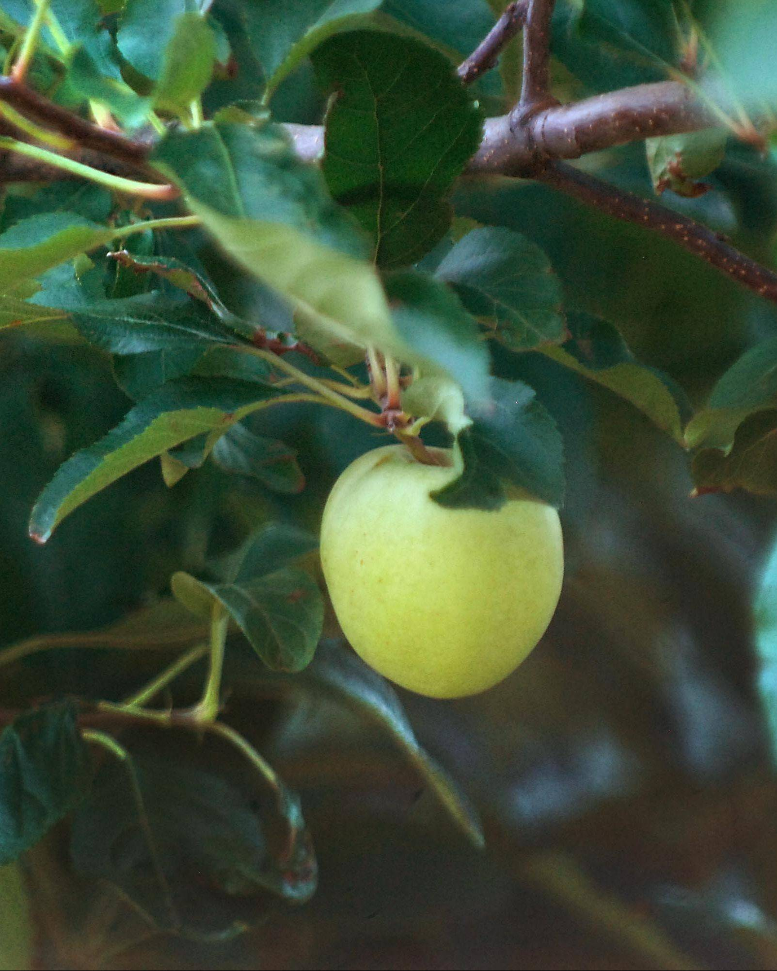 Gala apples have been badly affected by the drought at Royal Oak Fruit Farm in Harvard.