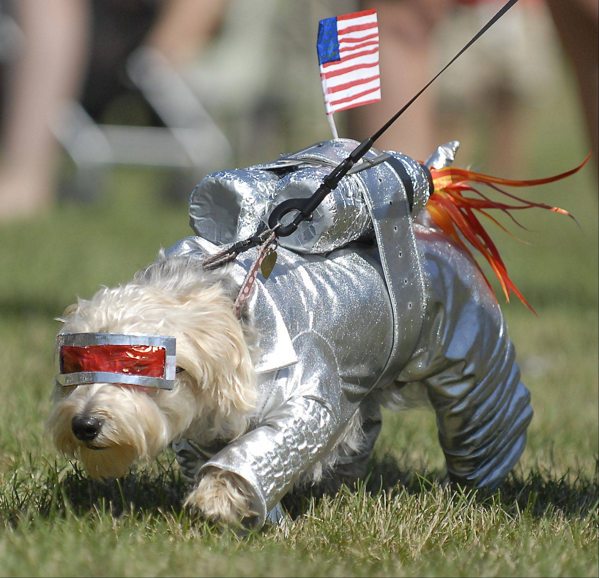 Teddie (cq) Bear, 3, owned by Rachel Beech, 11, of Algonquin takes first place in the Best Costume category for his homemade astronaut suit at Algonquin Founders' Days on Friday, July 27. This is Teddie's second year appearing in the dog and cat show at the festival.