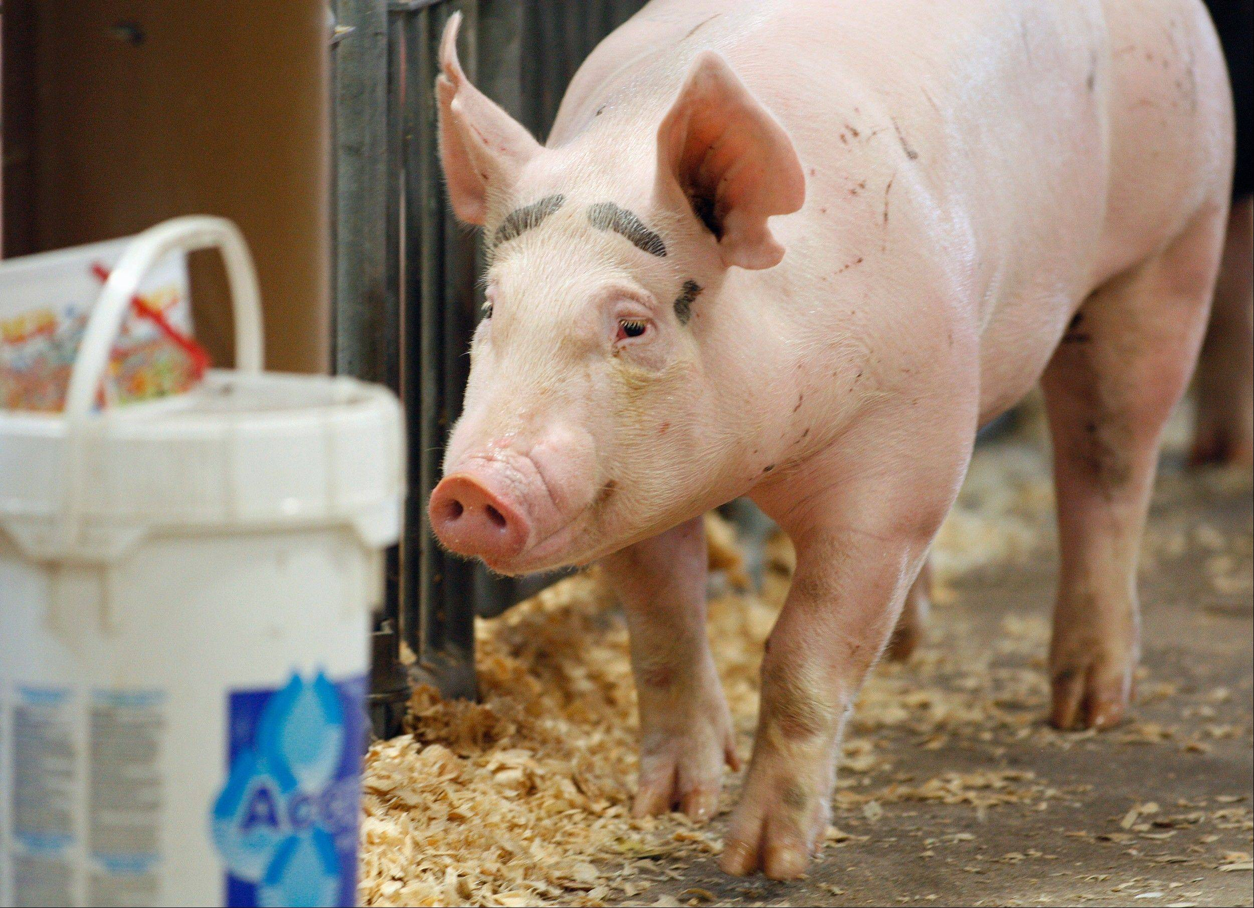 The Centers for Disease Control and Prevention said Thursday there's been a five-fold increase of cases of a new strain of swine flu that spreads from pigs to people.