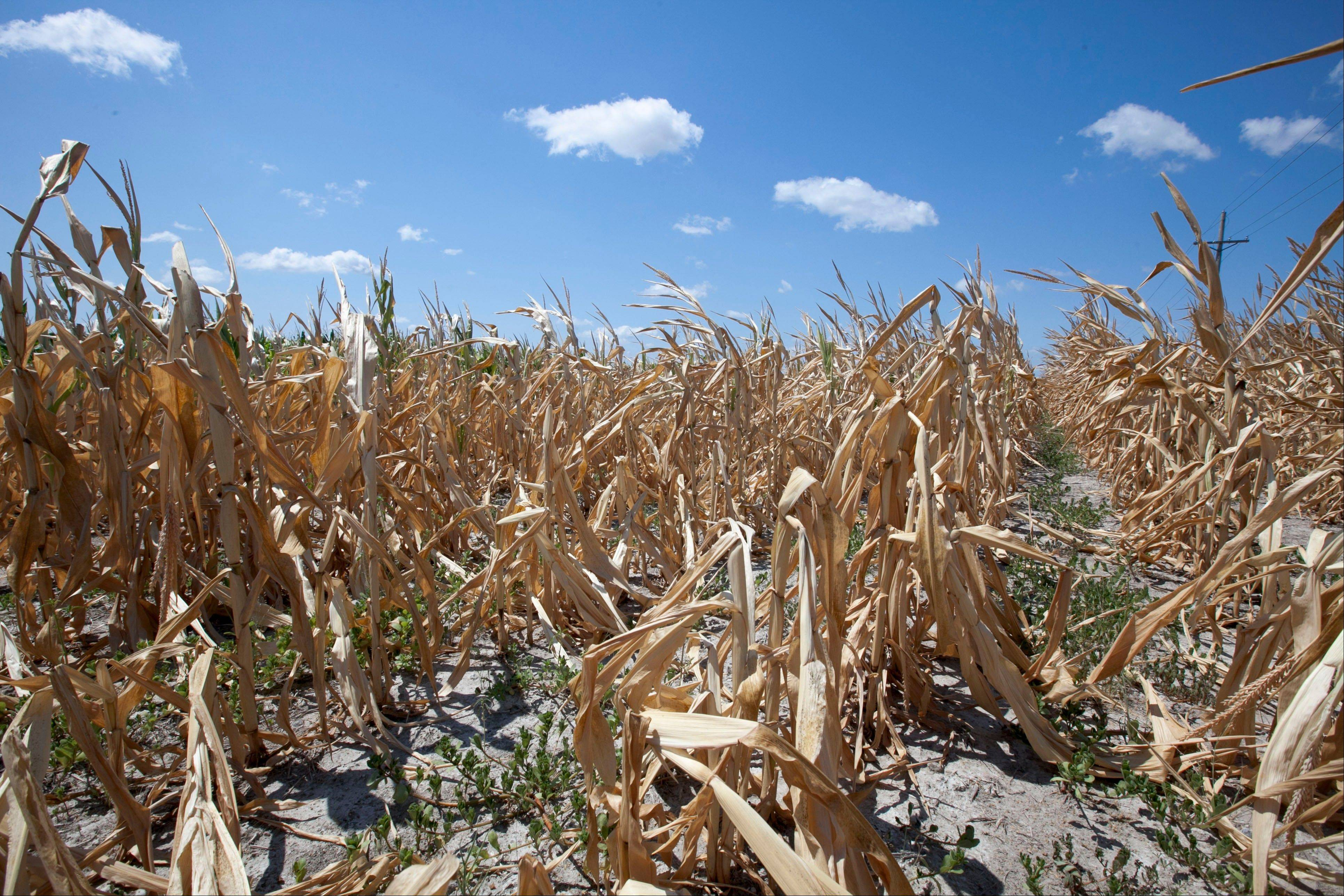 The government slashed its expectations for U.S. corn and soybean production for the second consecutive month Friday, predicting what could be the lowest average corn yield in more than 15 years as the worst drought in decades continued punishing key farm states.