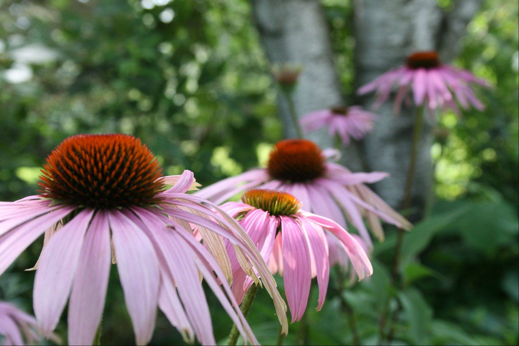 This photo was taken in my friend's garden in Wisconsin. I love the row of cone flowers making their way up to the birch tree.