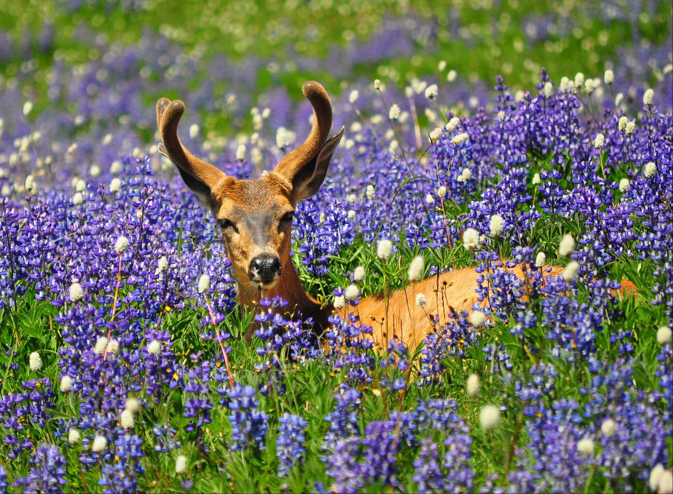 A deer relaxes amid the summer wildflowers on Hurricane Ridge in Olympic National Park in Washington on July 31.