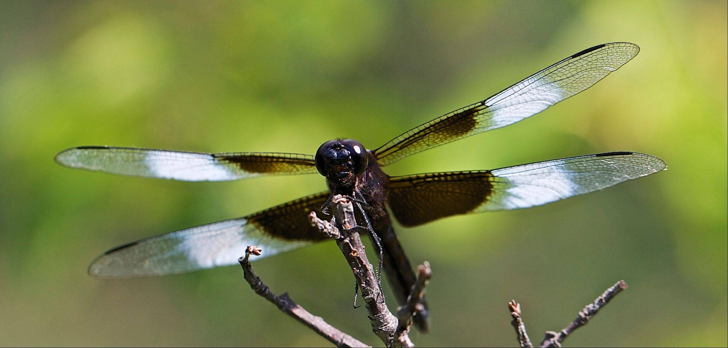 A dragonfly lands on a twig in Ingleside on July 31.