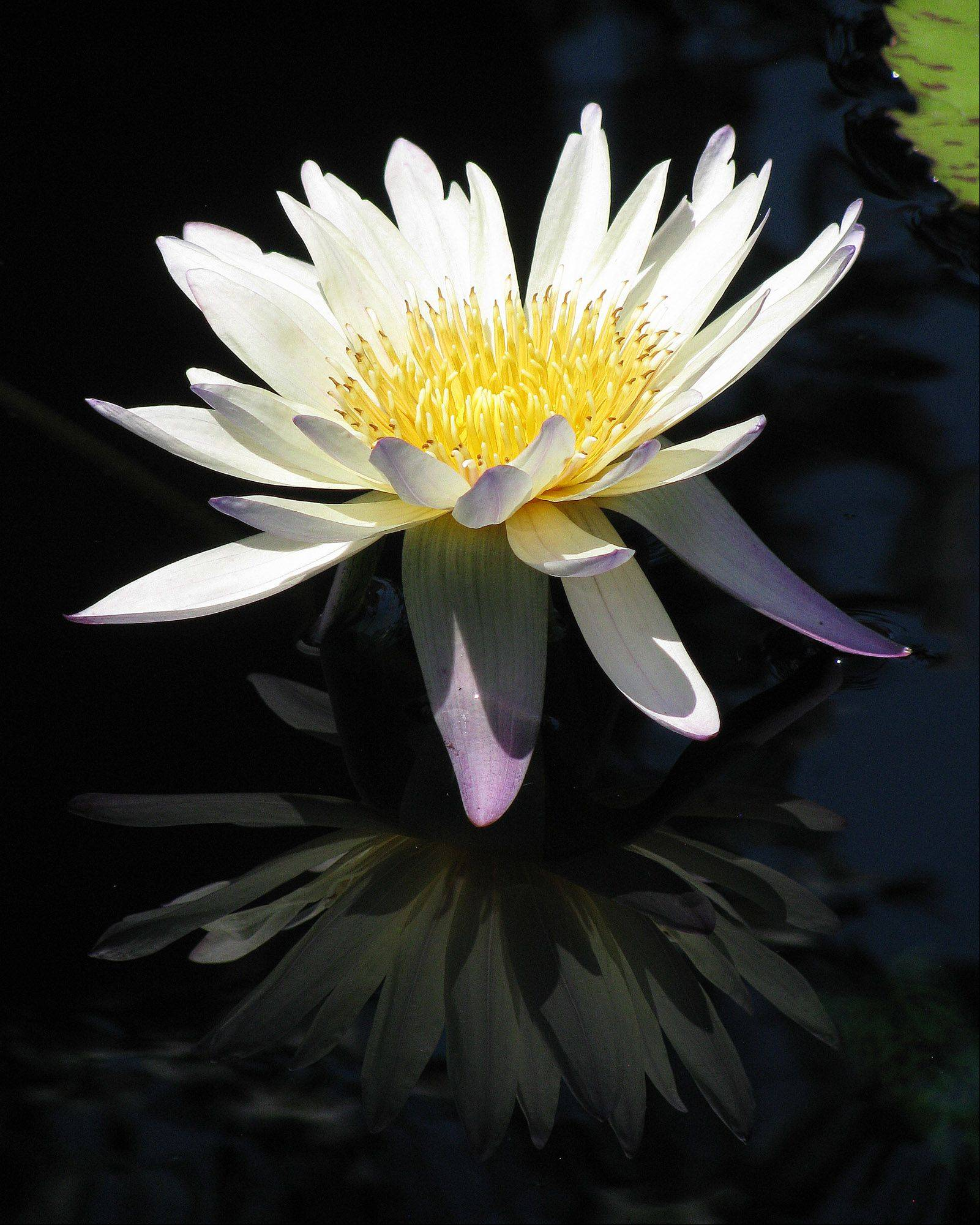 I photographed this lotus flower and it�s reflection at the Chicago Botanic Gardens.