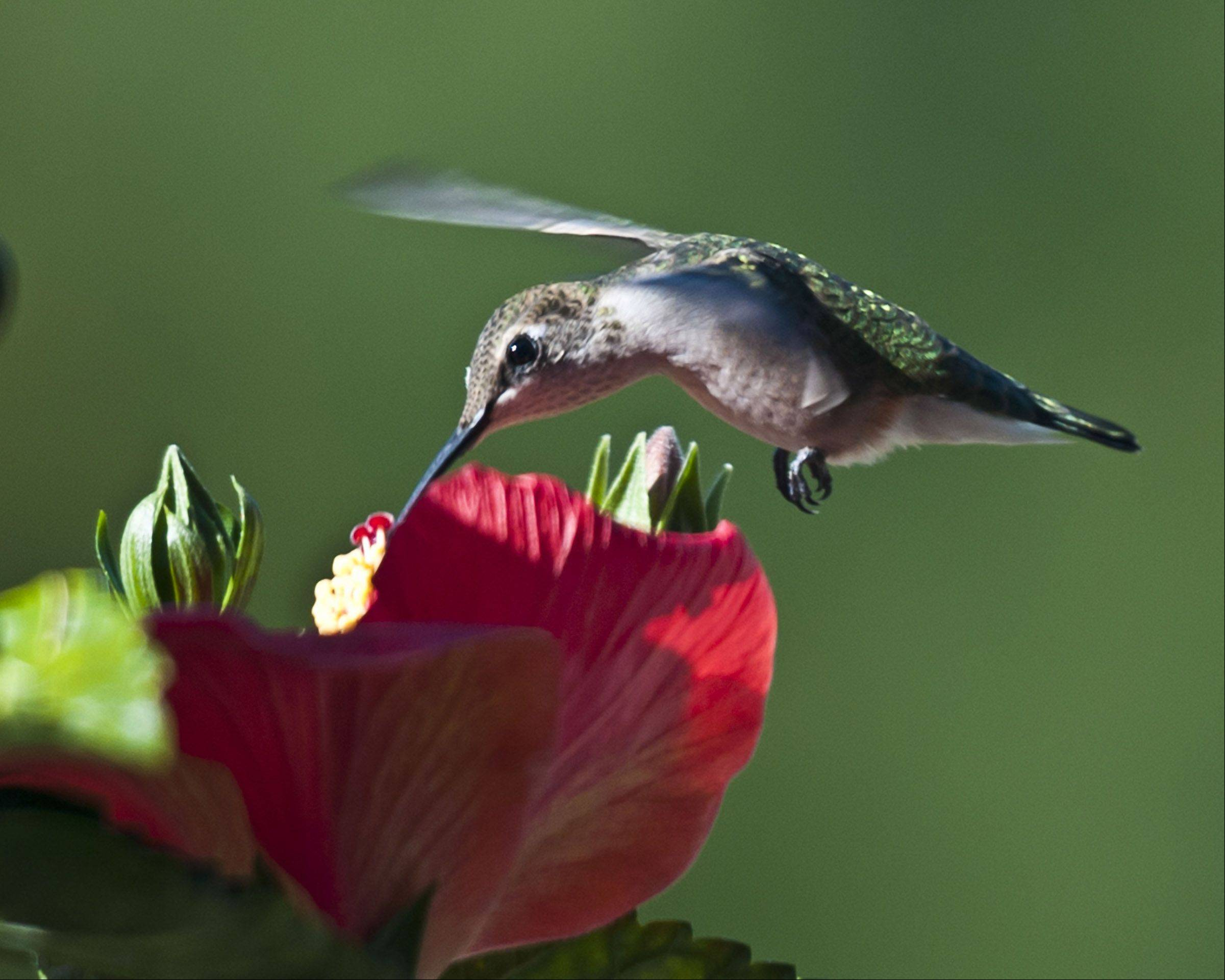 I captured this little guy in flight outside my house one morning. From my research it appears to be a juvenile ruby throated Humming Bird. I shot this with a Nikon d300 with a Nikor 70-200 f:2.8. This is a RAW file so after the fact I was able adjust color balance, gamma and other post editing controls to tweak the photo.