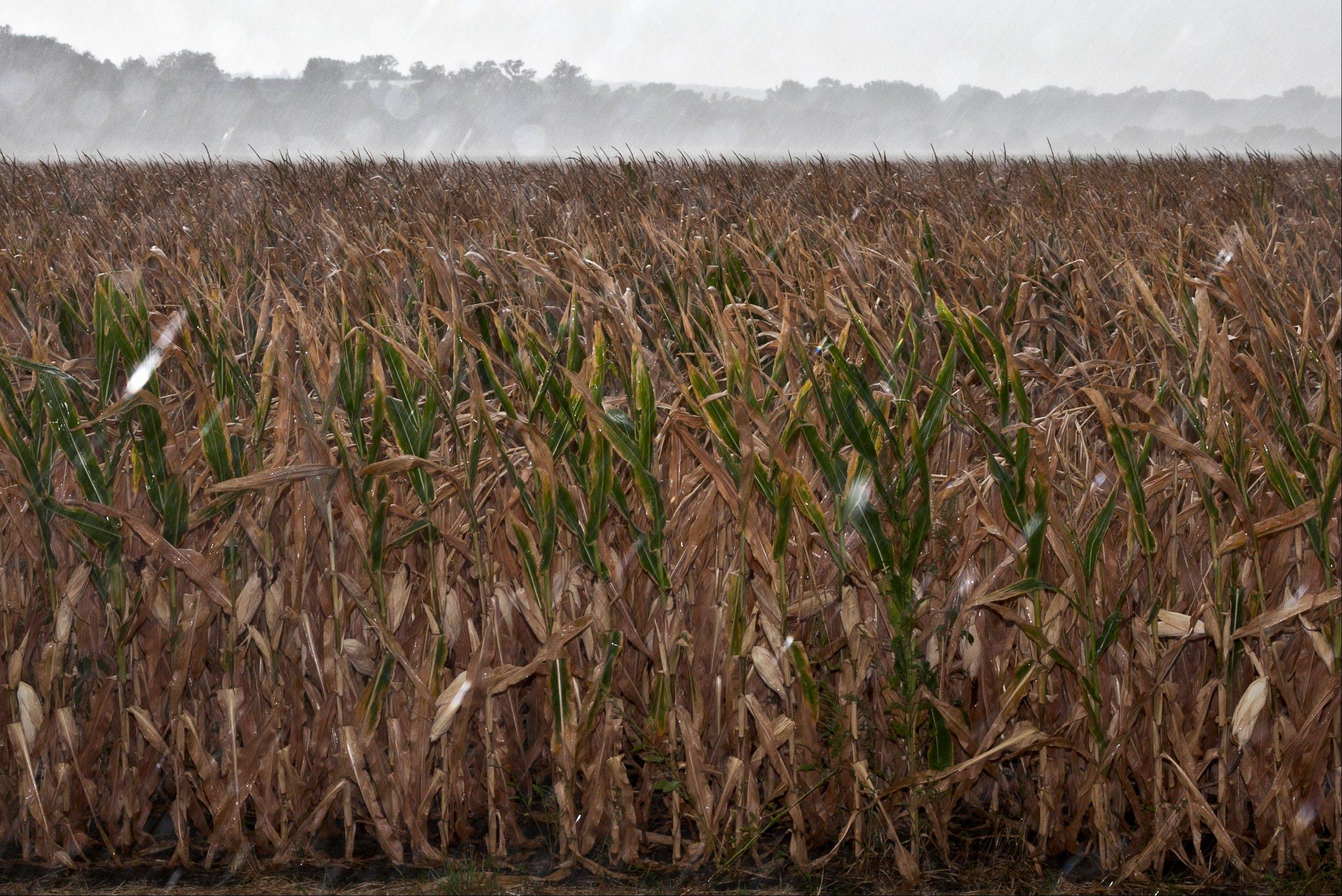A dry corn field receives some rain from a passing storm near Blair, Neb. Livestock farmers and ranchers seeing their feed costs rise because of the worst drought in a quarter-century are demanding that the Environmental Protection Agency waive production requirements for corn-based ethanol.