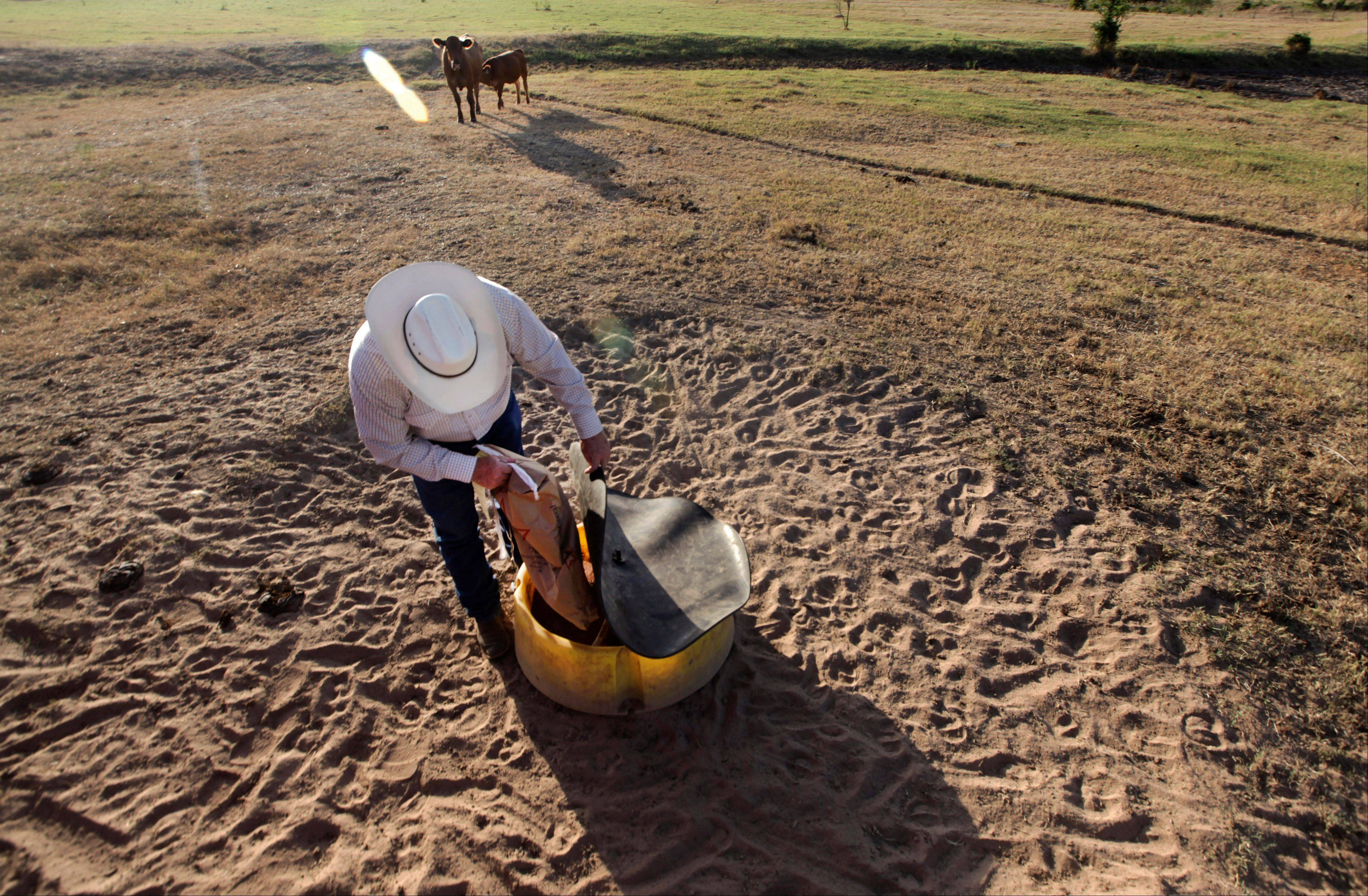 Cattle rancher Ron Gill puts out cottonseed feed for a calf reunited with its mother in rural Parker County near Springtown, Texas.