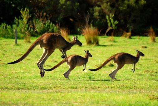 Three kangaroos (not these three)  fled a German zoo after a fox dug a hole into their enclosure. Only one remains at large.