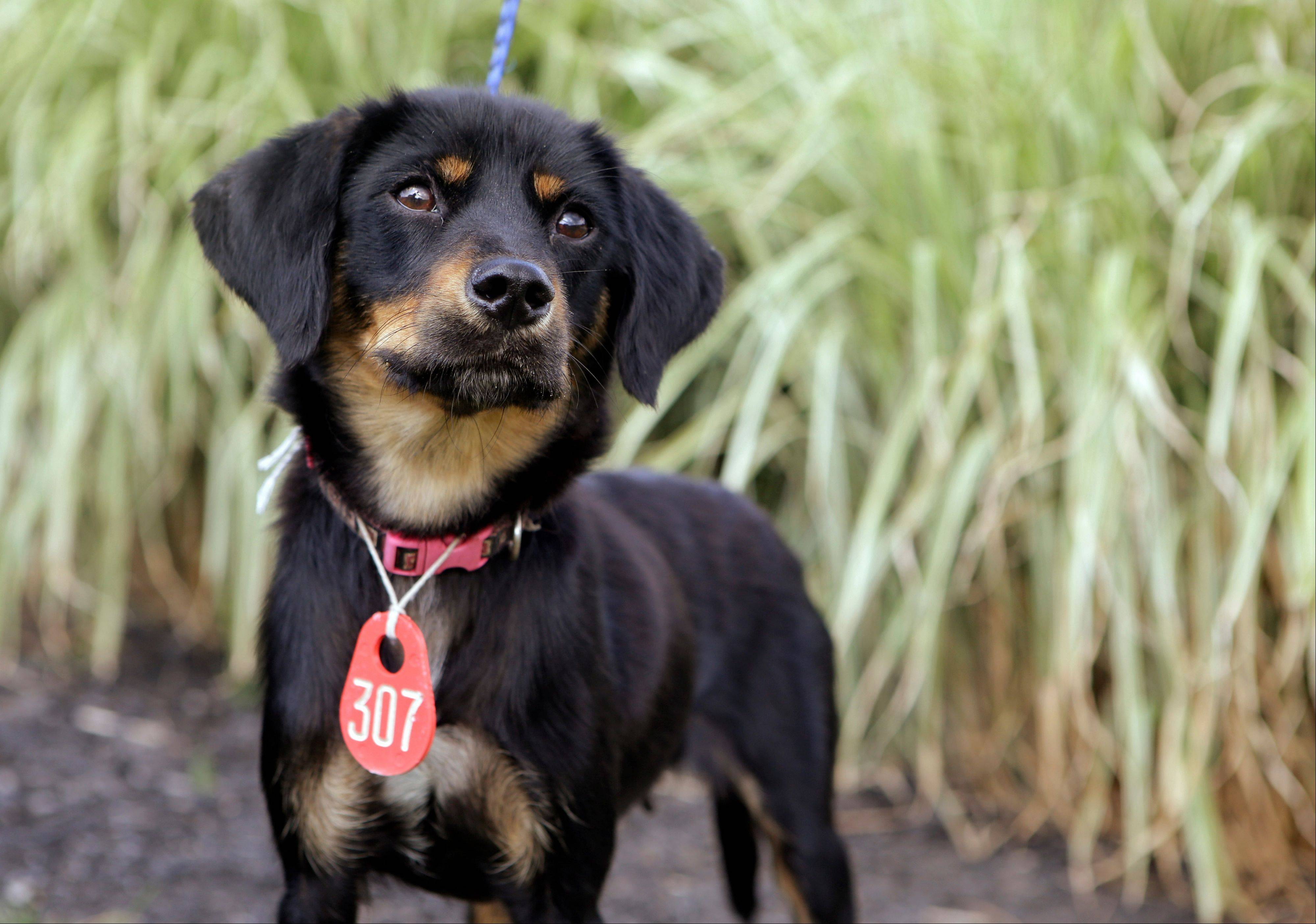 "A two-year-old mixed breed dubbed ""Chessie"" poses Wednesday outside the Cuyahoga County animal shelter in Cleveland. A CSX bridge monitor found the dog Friday night, telling police that he witnessed from a distance the dog being tied to CSX railroad tracks and someone appearing to take photographs or video of it."
