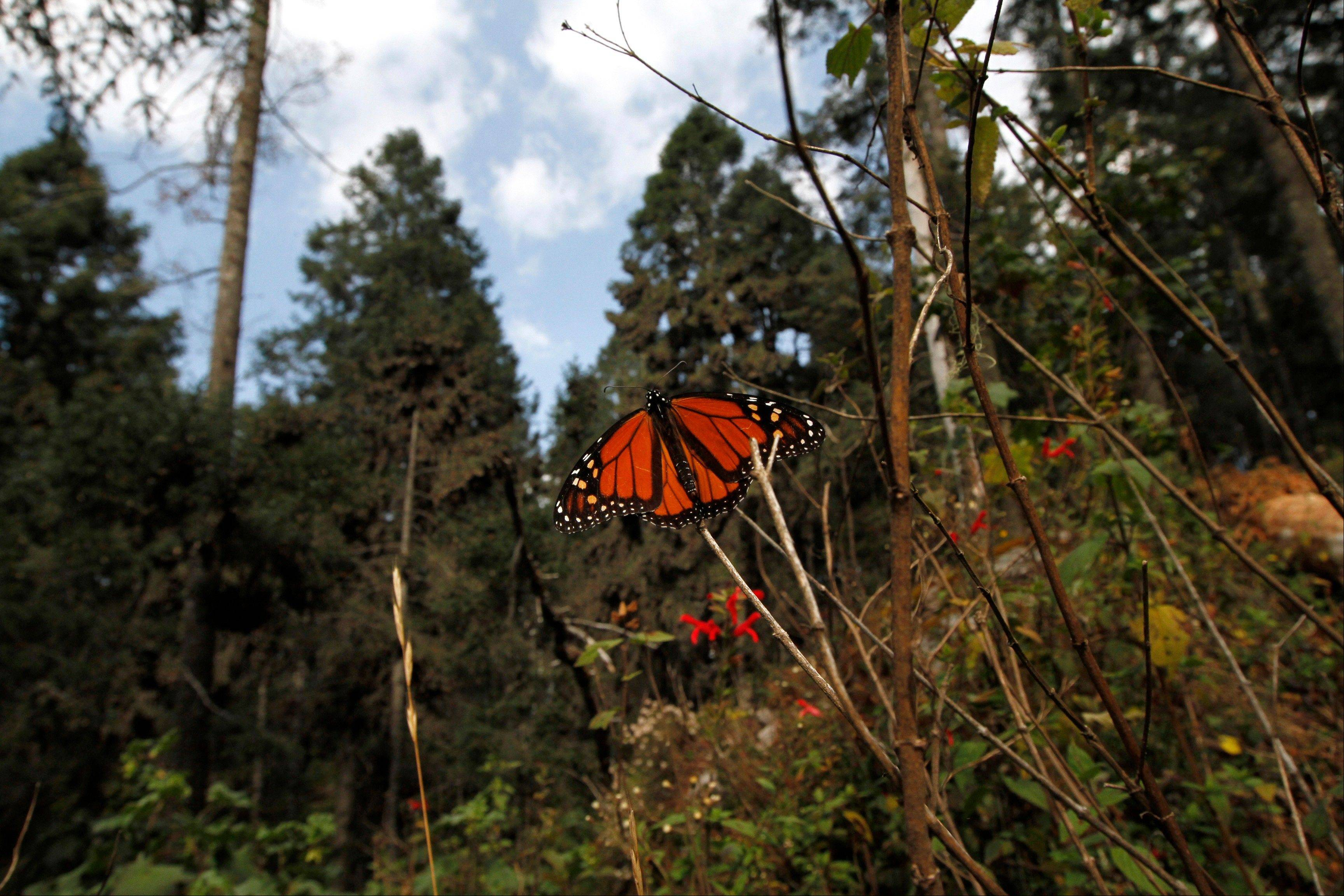 A Monarch butterfly perches on a branch in the Sierra Chincua Sanctuary in the mountains of Mexico's Michoacan state.