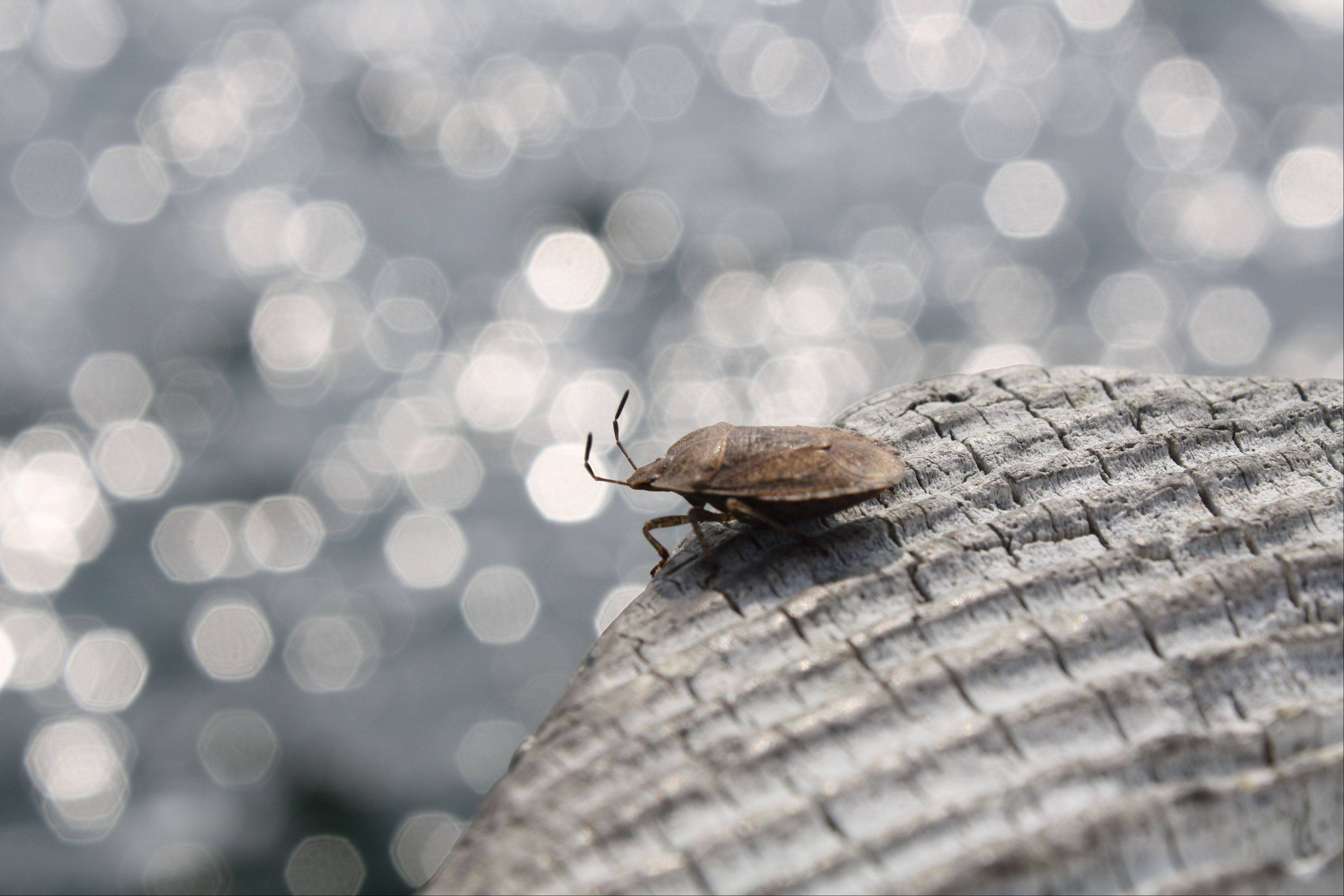 A beetle sits on a post of a fishing pier in Door County, Wis.