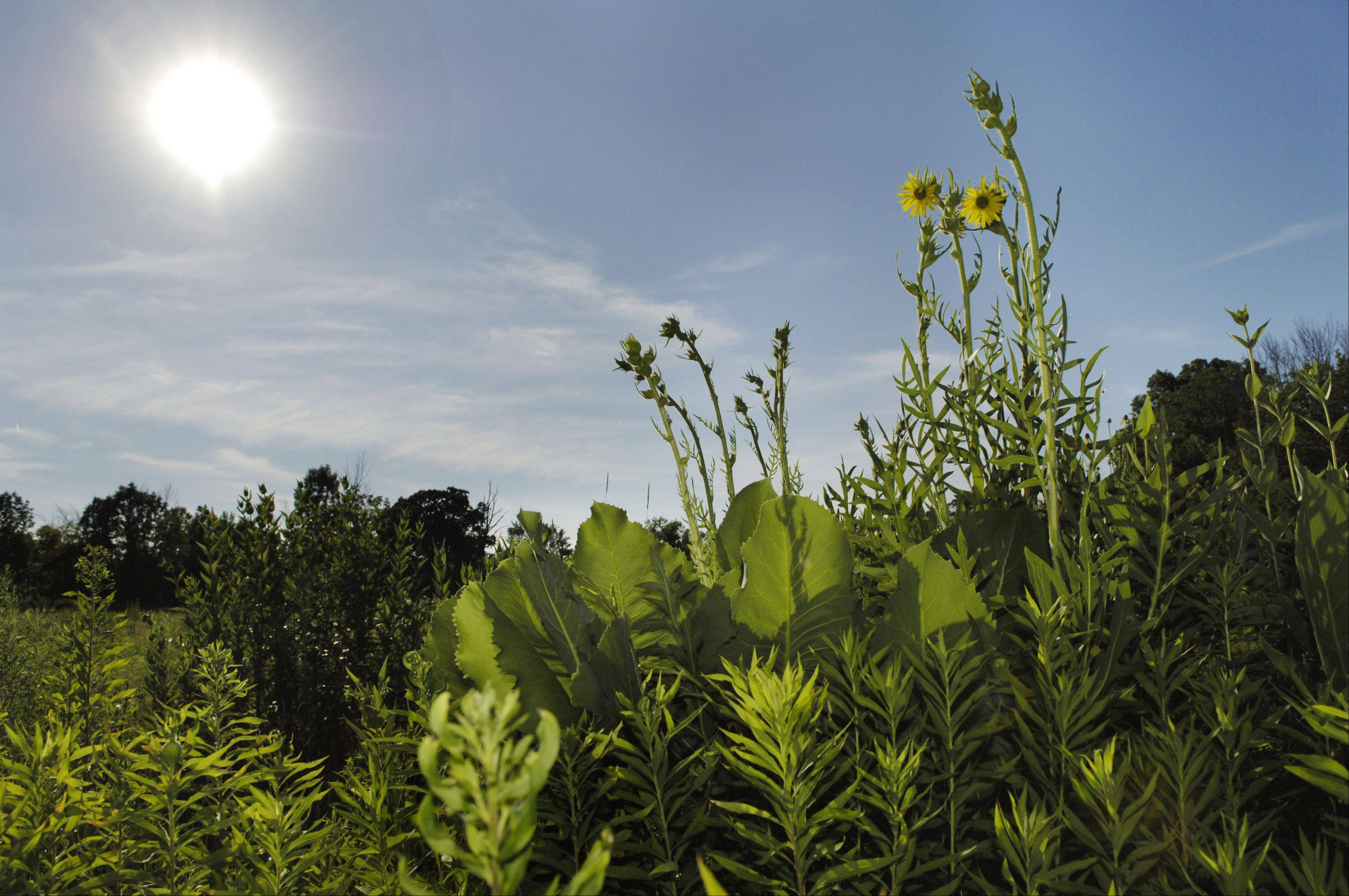 The afternoon sun beats down on prairie plants at Tekakwitha Woods in St. Charles. Three species in the genus silphium -- drought hardy native prairie plants -- are well prepared to weather the drought.