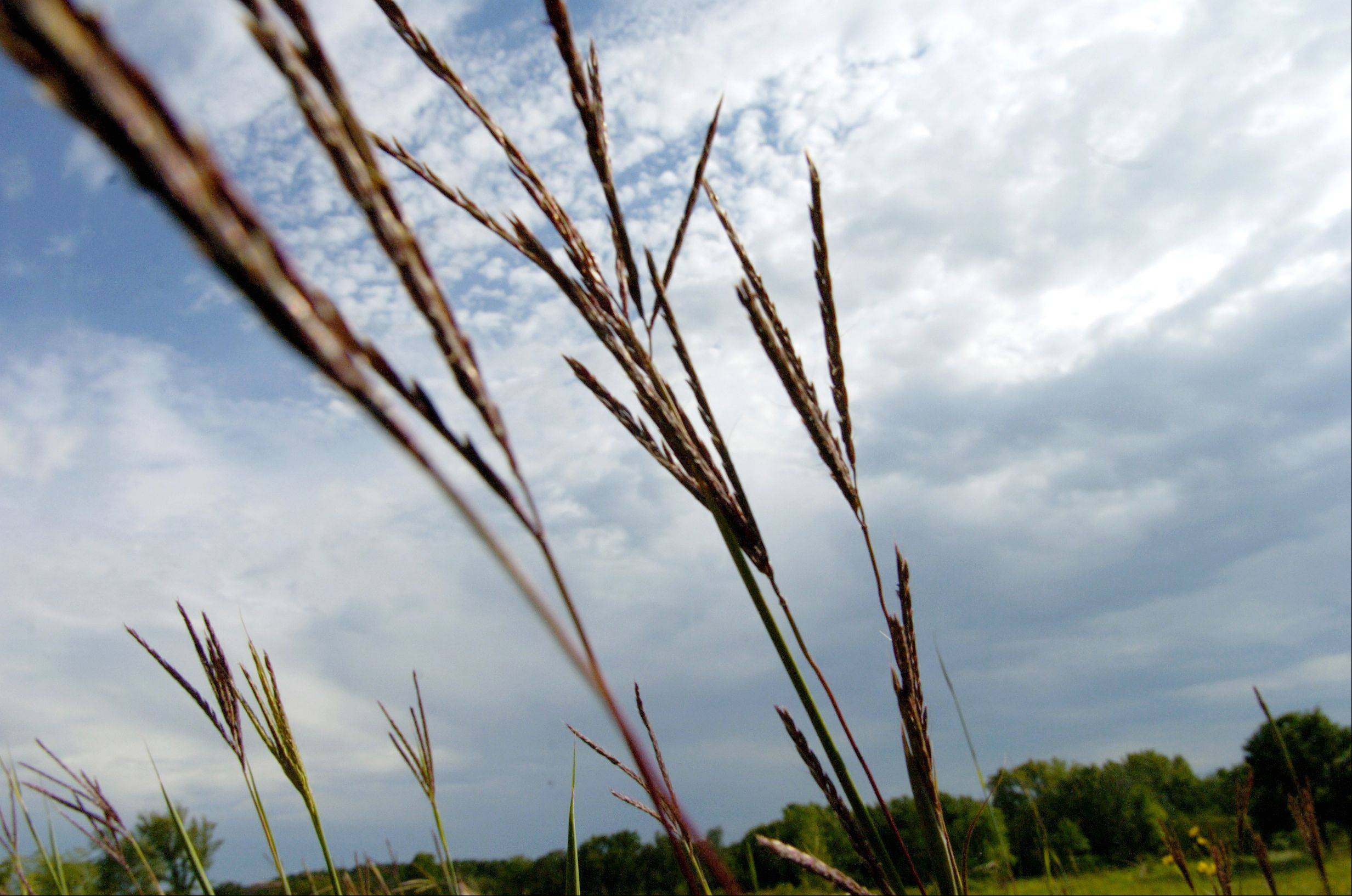 Big Bluestem (Andropogon gerardi), nicknamed Turkey Foot, waves in the breeze of an approaching storm at LeRoy Oakes Forest Preserve's Horlock Prairie.