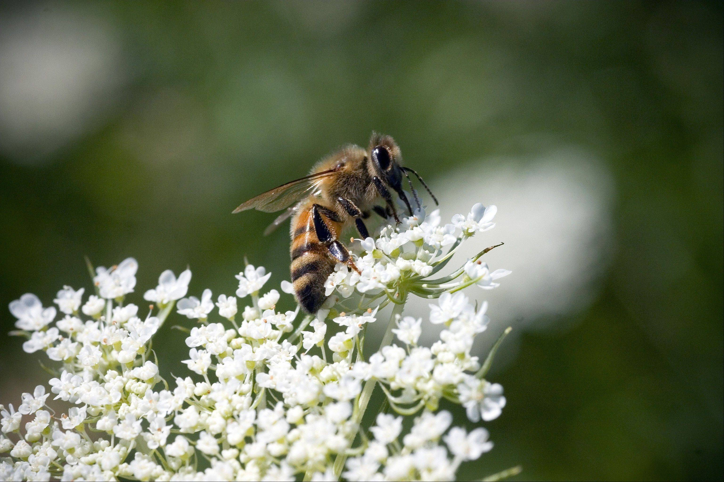 Attendees of Kline Creek Farm's first National Honey Bee Day celebrations will visit the farm's honey house to learn about the honey-making process, see a new garden of plants attractive to pollinators, watch candle-making demonstrations and participate in a honey tasting.