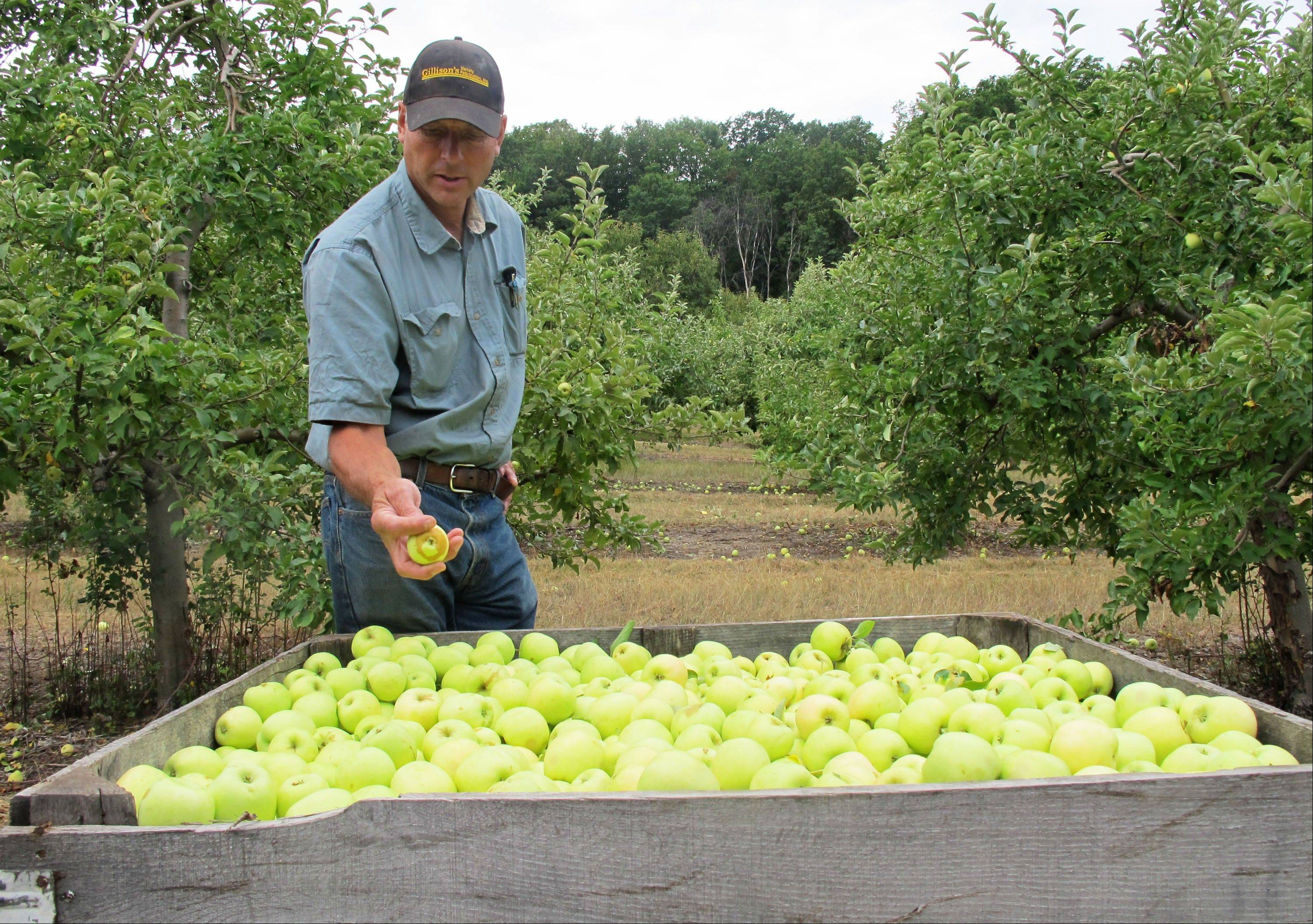Grower Alan Spinniken examines a bin filled with Early Gold apples in his orchard near Suttons Bay, Mich. Spinniken lost about one-third of his crop because of bad weather but said heís grateful things werenít worse.