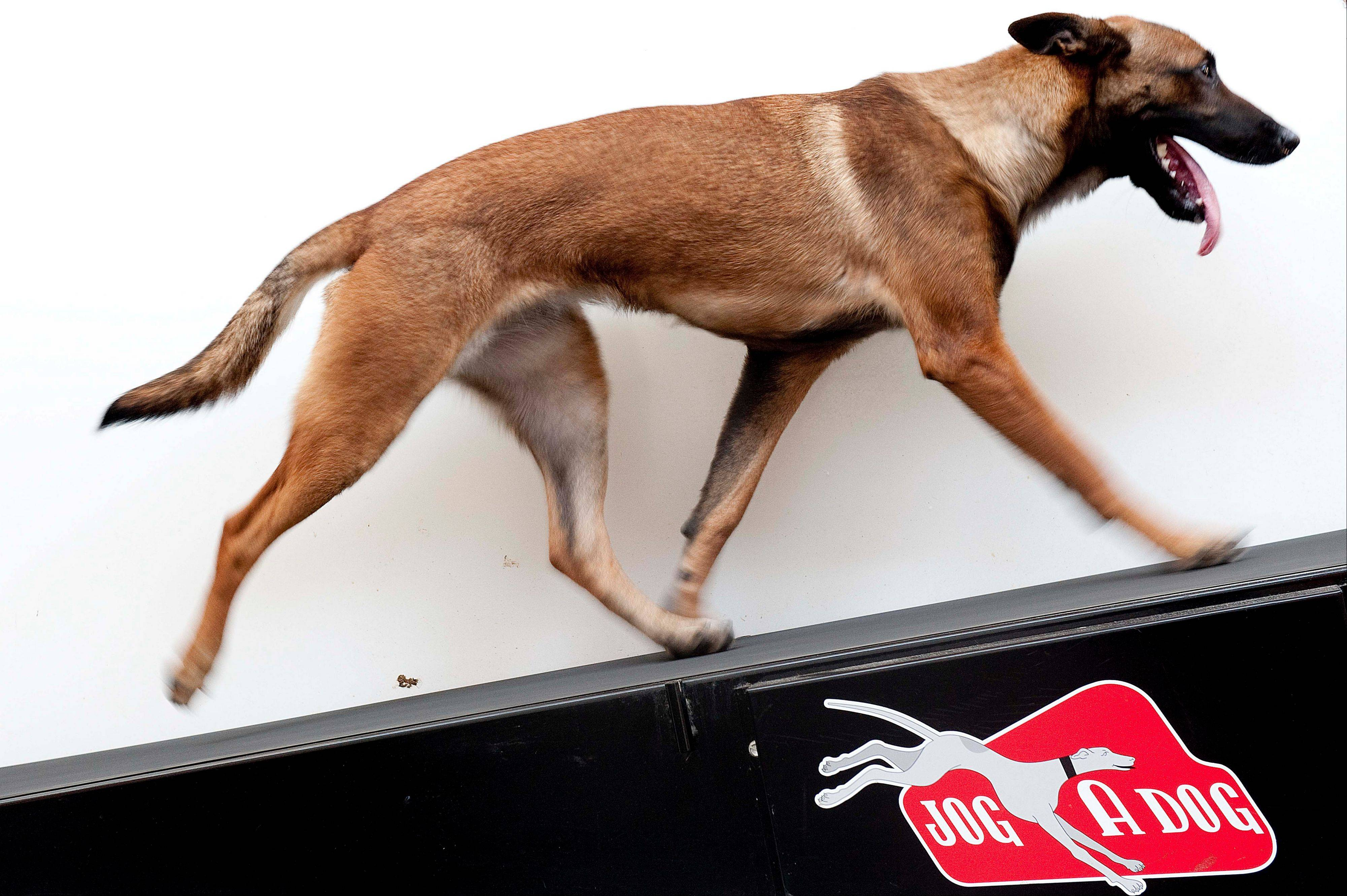 Chryses, a Belgian Malinois, walks the Jog-A-Dog treadmill as part of a demonstration in the enrichment center at LA Dog Works in Los Angeles. The Jog-A-Dog is an industrial model used for professional purposes, unlike the DogPacer, which is meant for home.