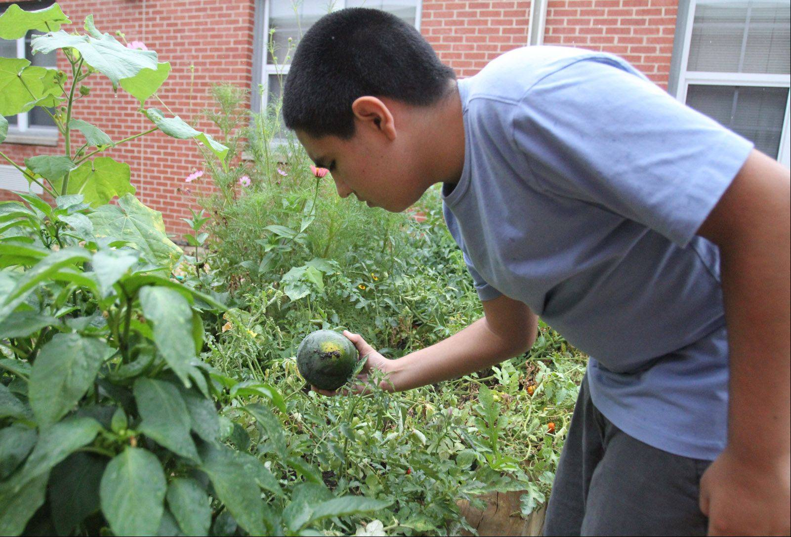 Eighth-grader Luis Rodriguez checks a watermelon at London Middle School's vegetable garden. Summer school students at London have been watering and caring for the plants.