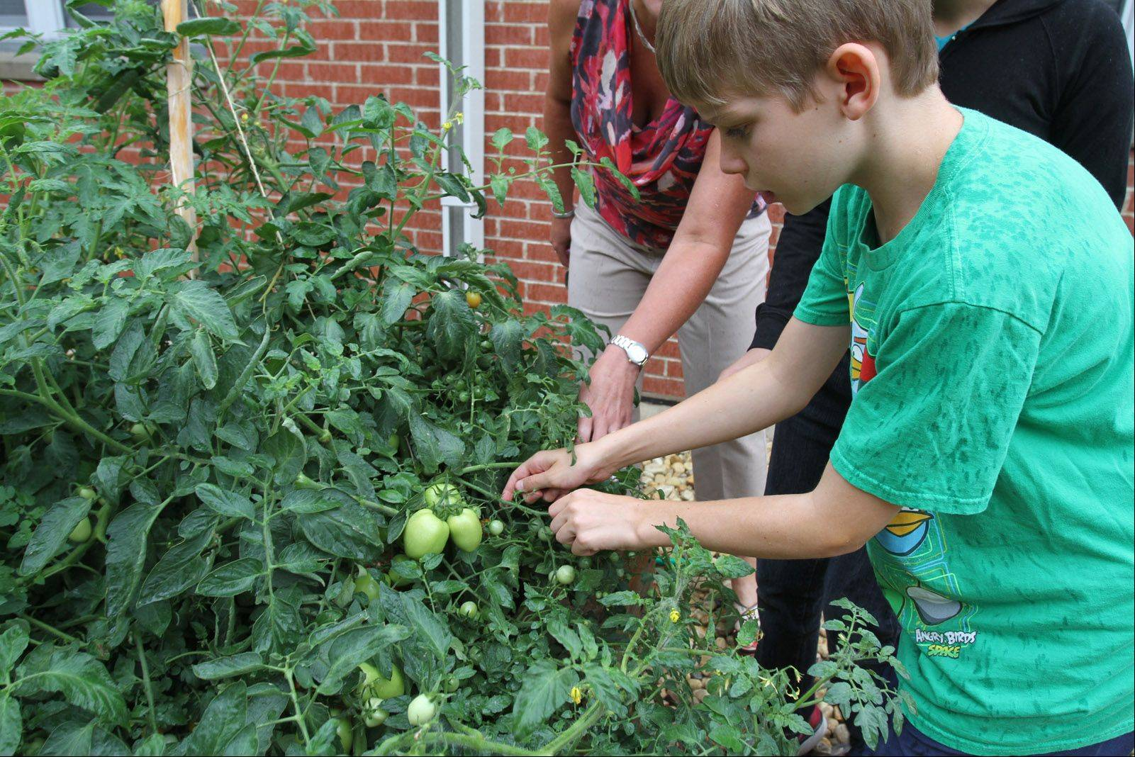 Summer school student Jack Ausnehmer, a seventh-grader at London Middle School, picks tomatoes to benefit needy families through the Giving Garden program.
