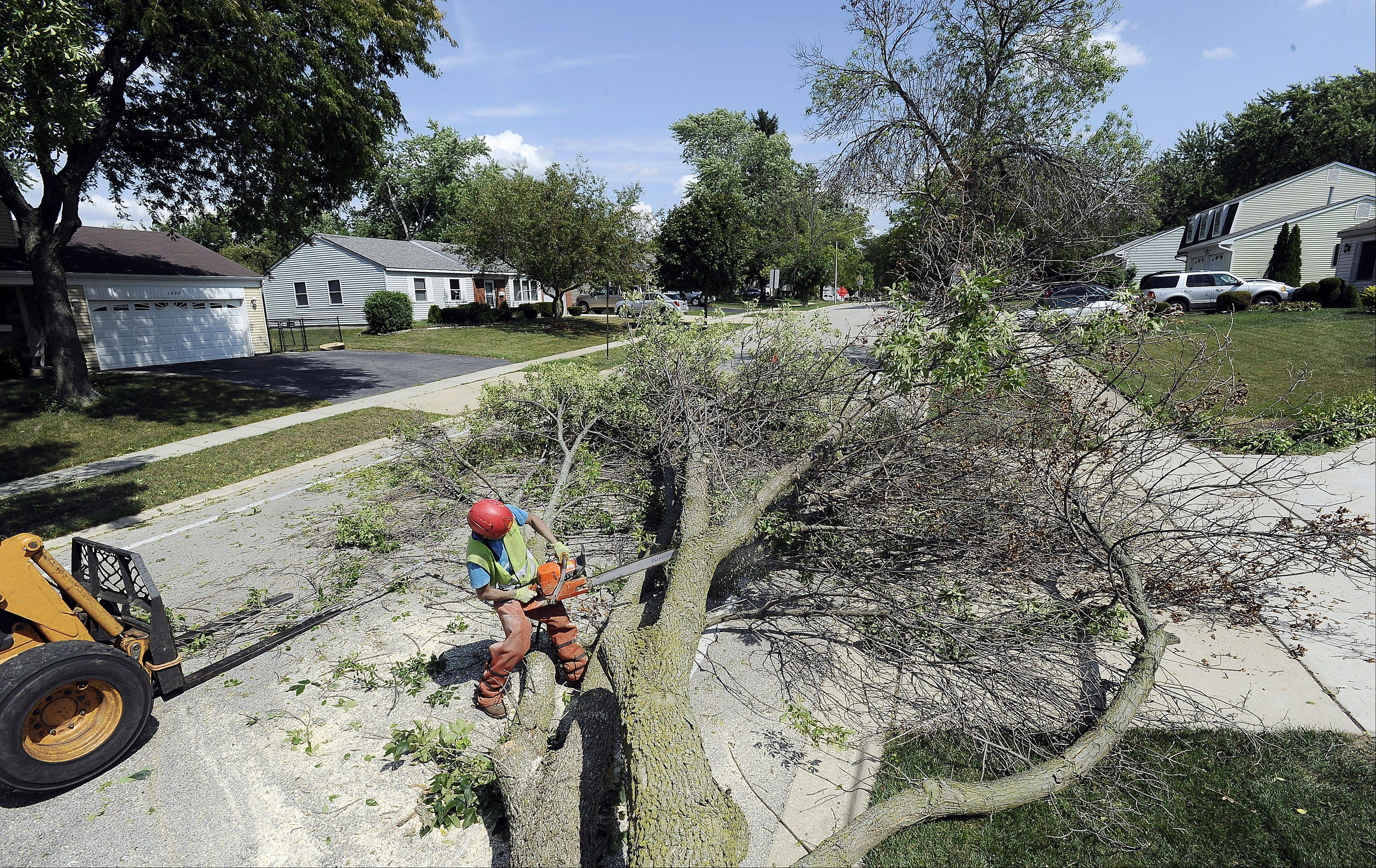 Rafael Alfaro of LandScapes Concepts of Grayslake cuts up an ash tree located on Colwyn Drive in Schaumburg after workers pushed it over with a tractor. More than 1,500 trees are slated for the chopping block in Schaumburg.